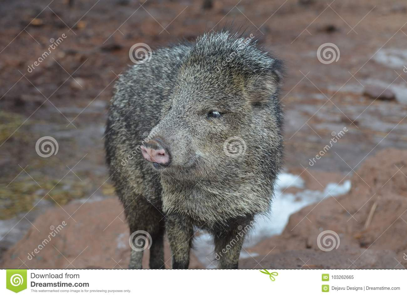 Cute black and brown peccary skunk pig in the wild
