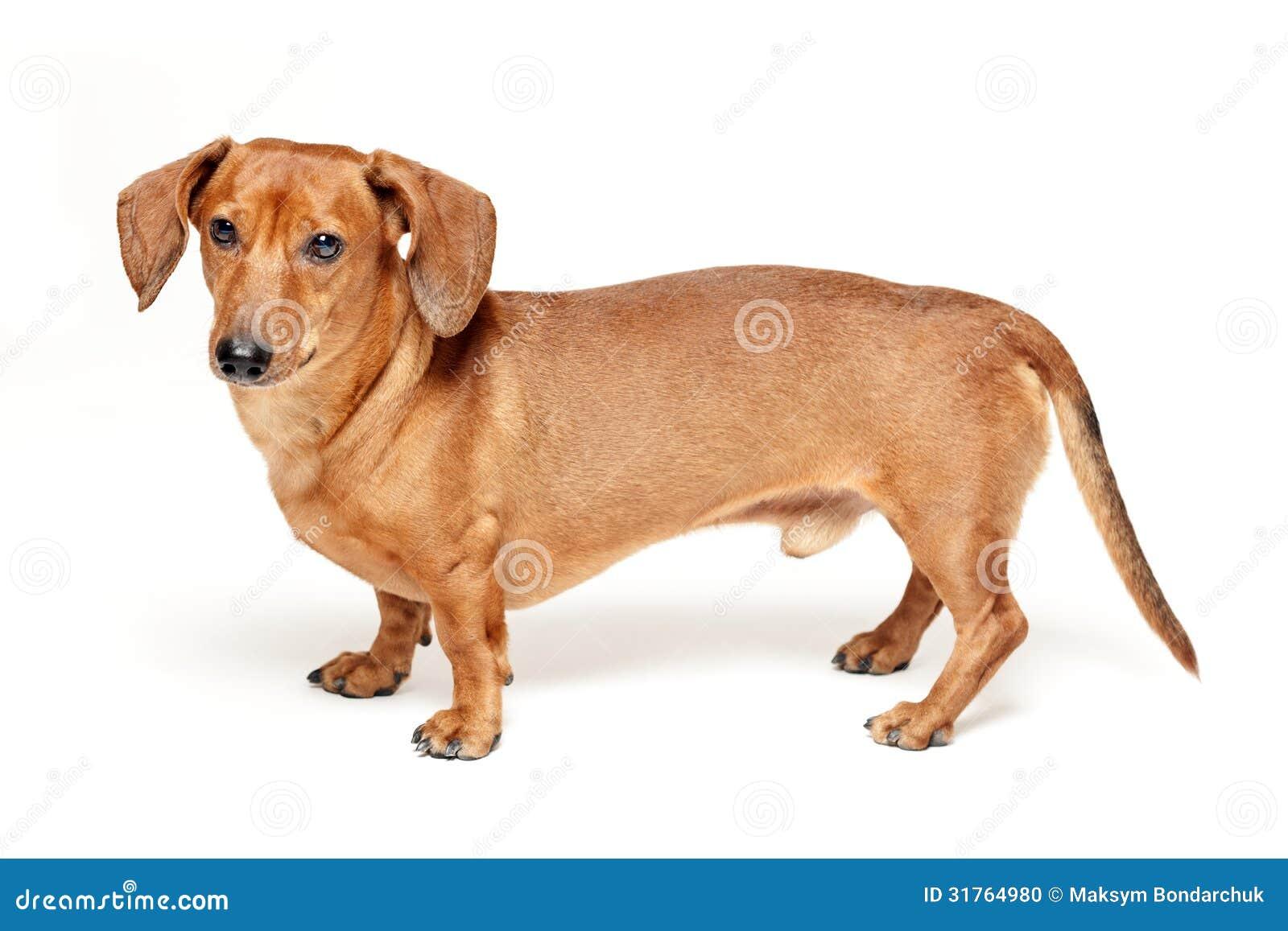 Cute brown dachshund dog  Dachshund Dog