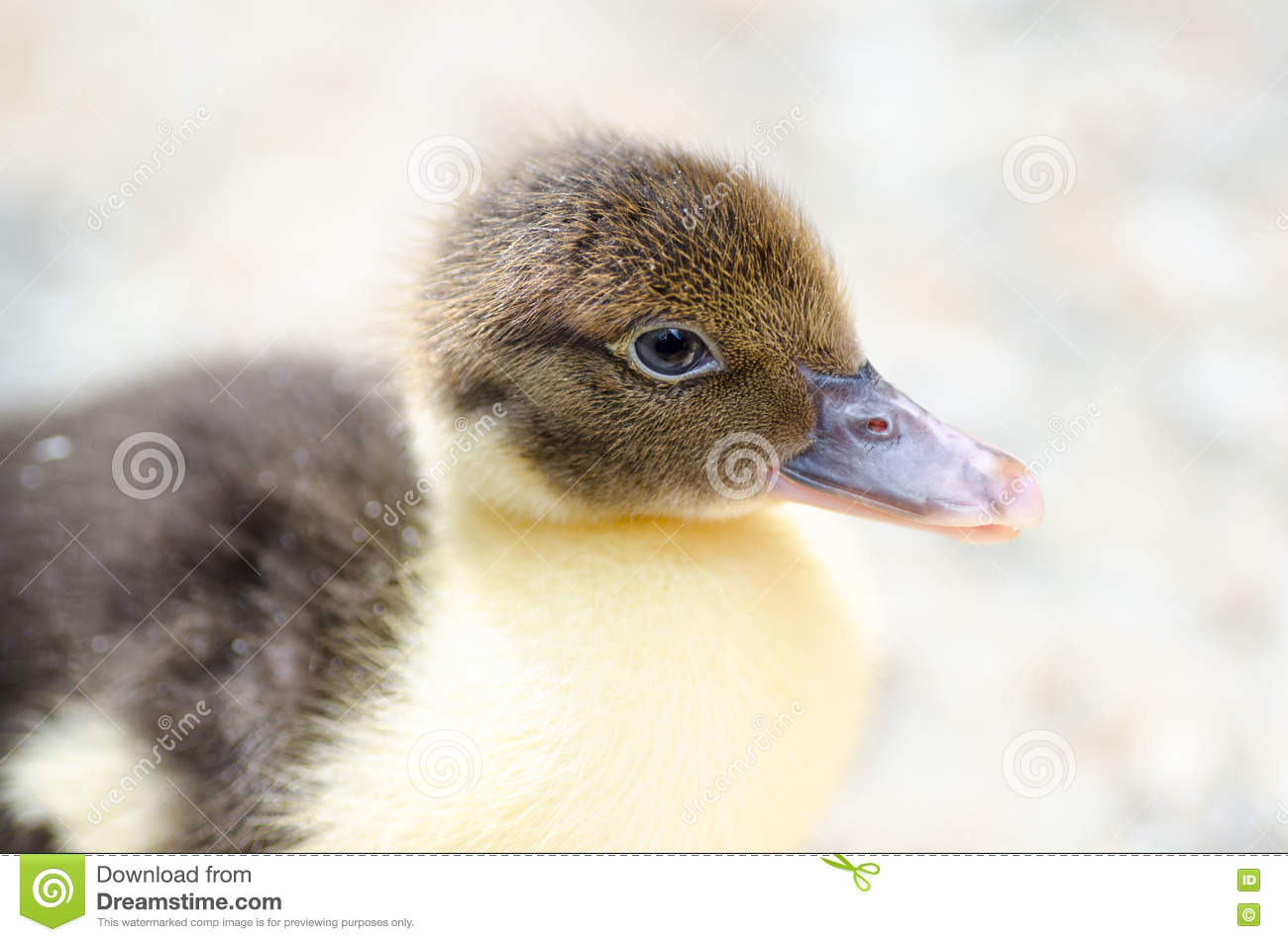 cute brown fluffy duckling in the countryside stock photo image of