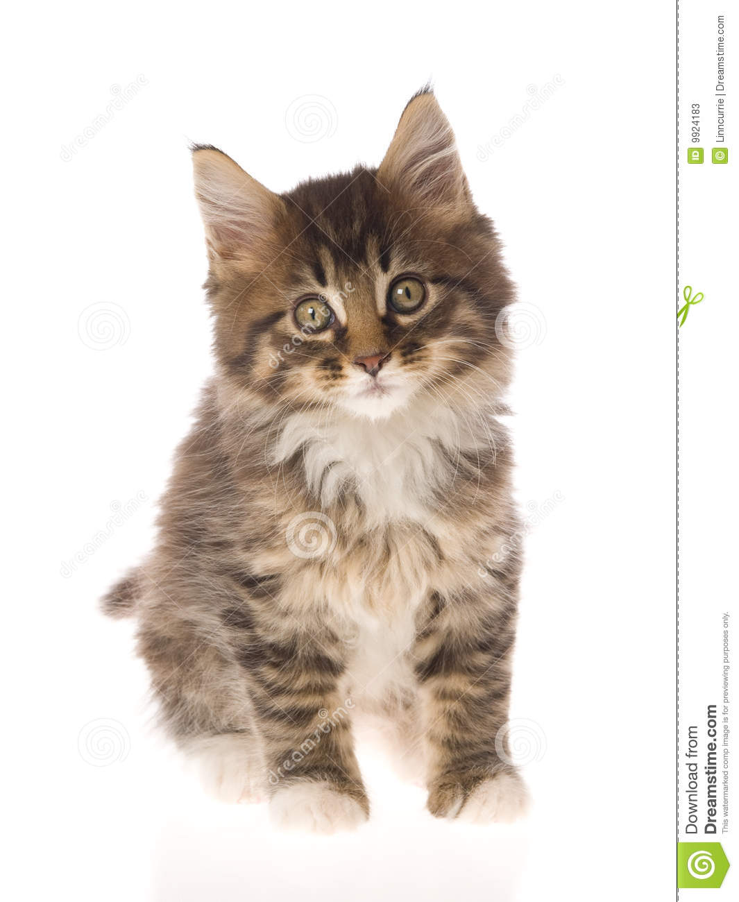 Cute Brown Maine Coon Kitten On White Bg Stock Photos ...