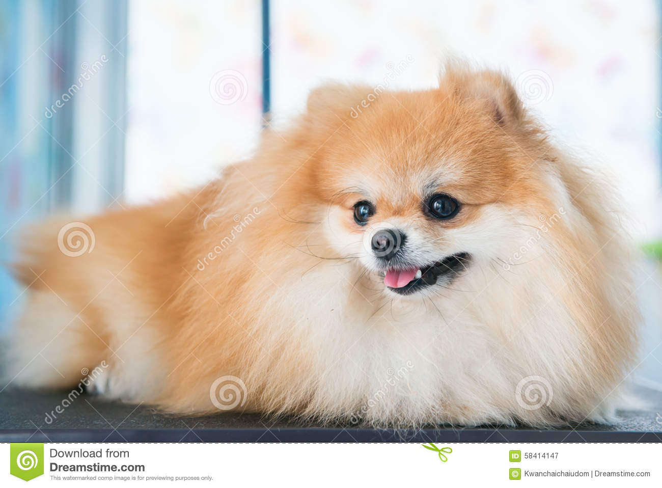 Cute Brown Pomeranian Dog Stock Image Image Of Face 58414147