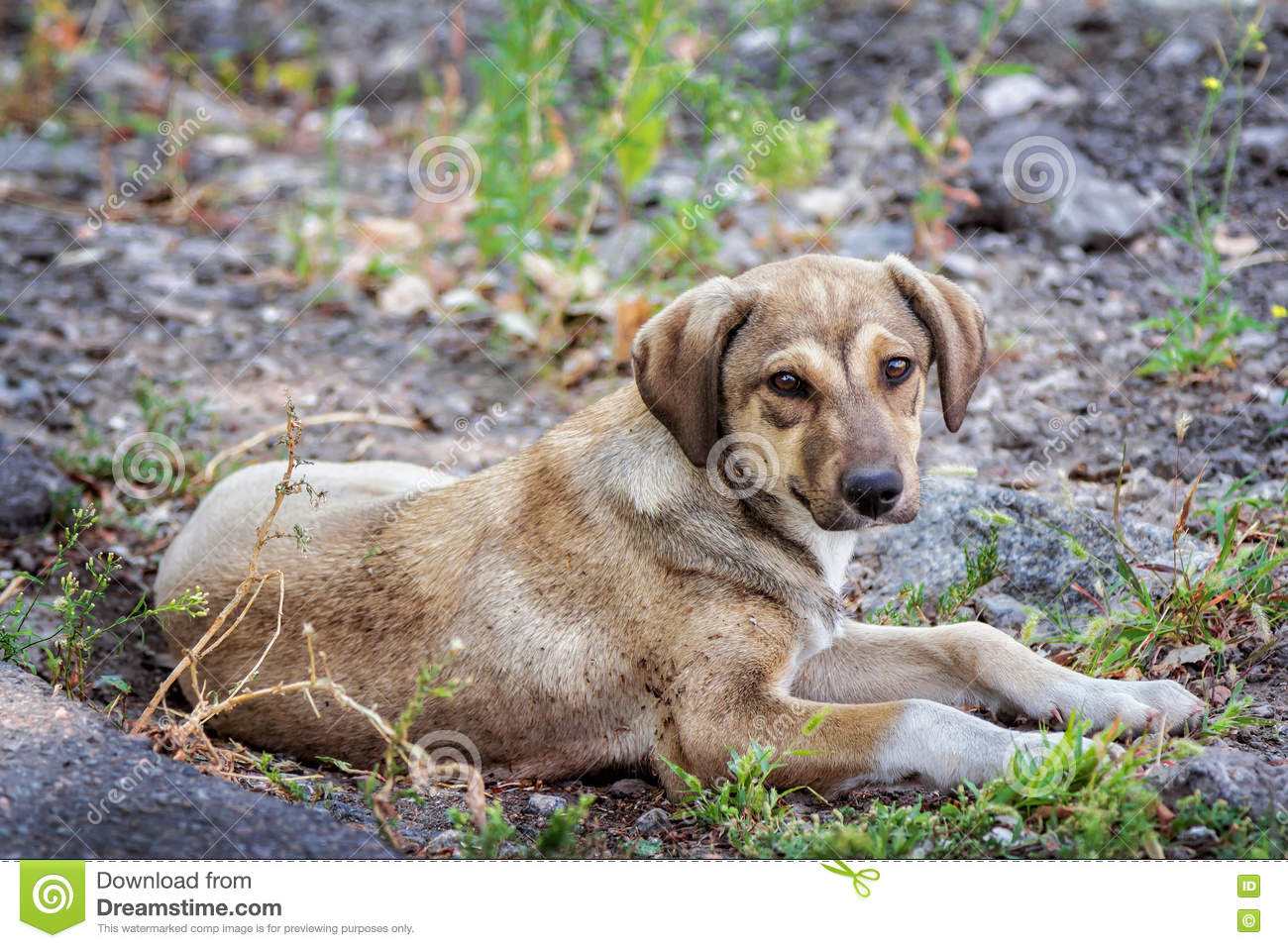 4cb6f2aa9db Cute brown stray dog laying on the ground outdoors