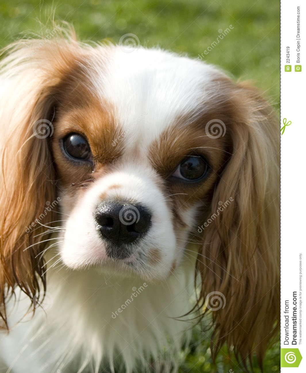 Brown And White Dog Cute brown and white d...