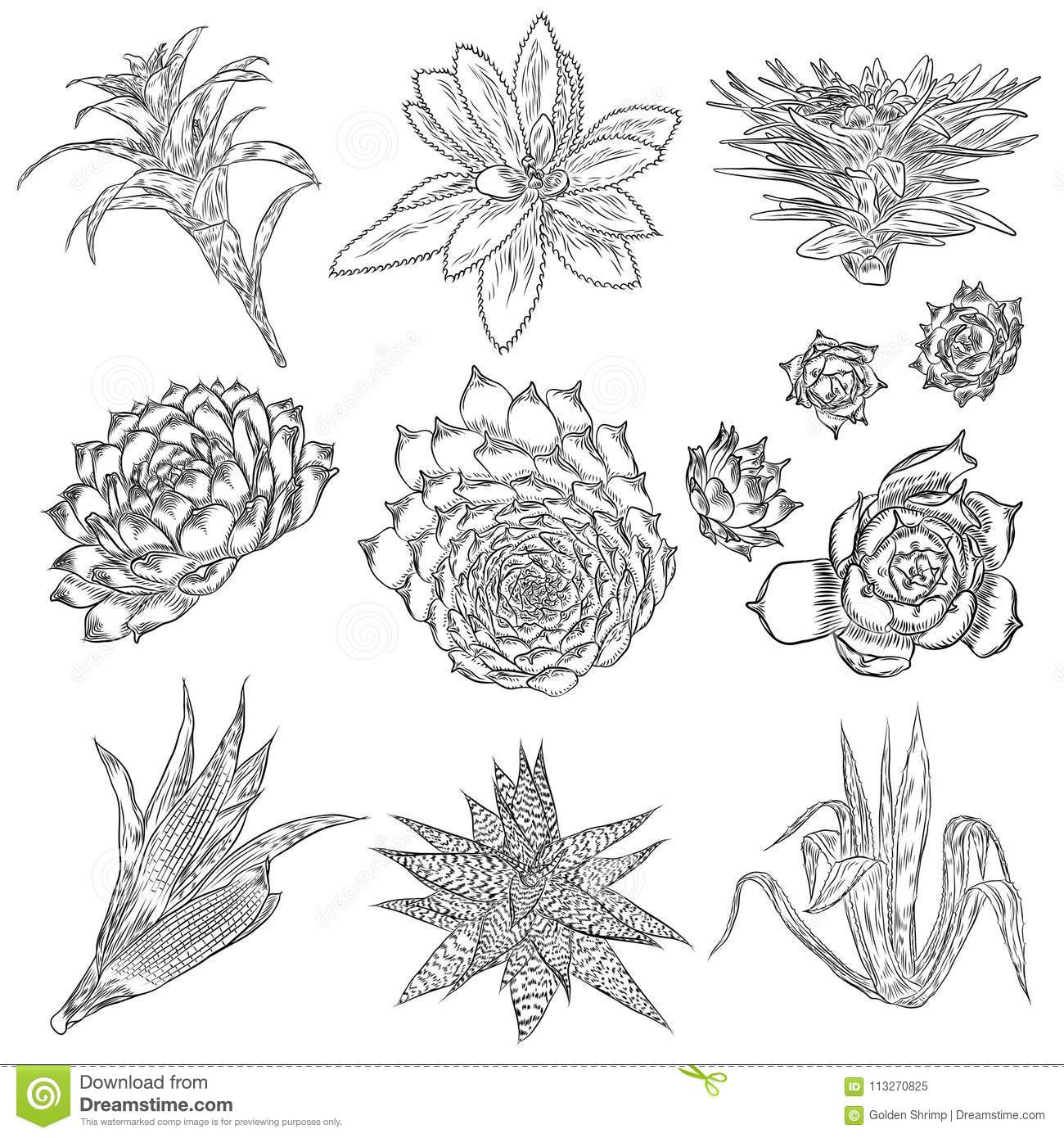 Cute Cactus Illustrations Handmade Set Hand Drawn Outline Cacti And Succulents Drawings Decorative Floral Design Elements For Stock Illustration Illustration Of Houseplant Floral 113270825