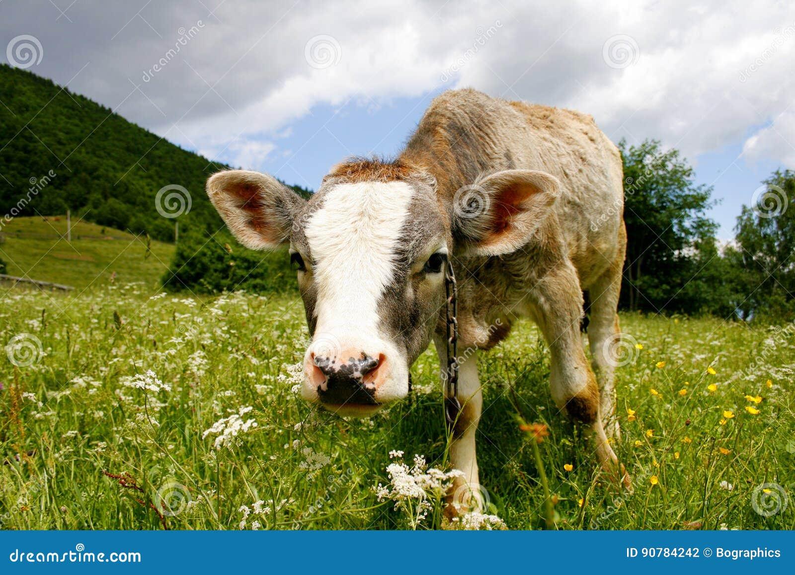 Cute calf standing on green field