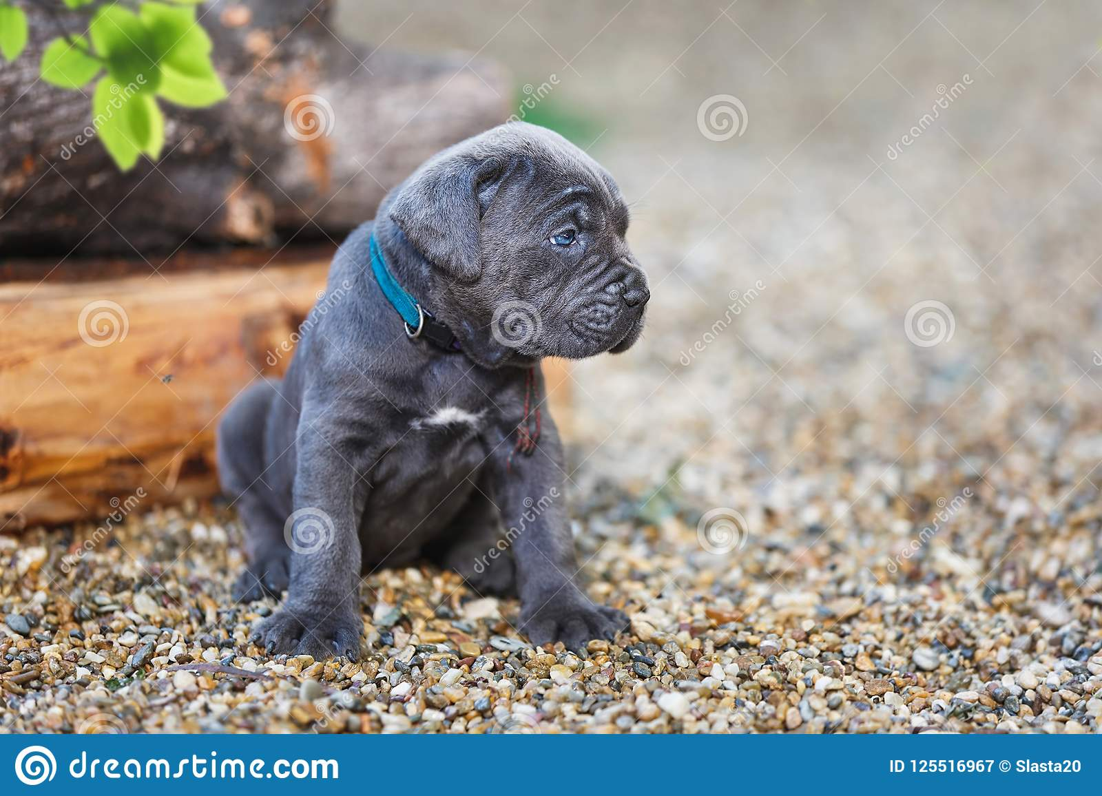 Cute Cane Corso Puppy With Blue Eyes Sitting In Sunny Garden Stock
