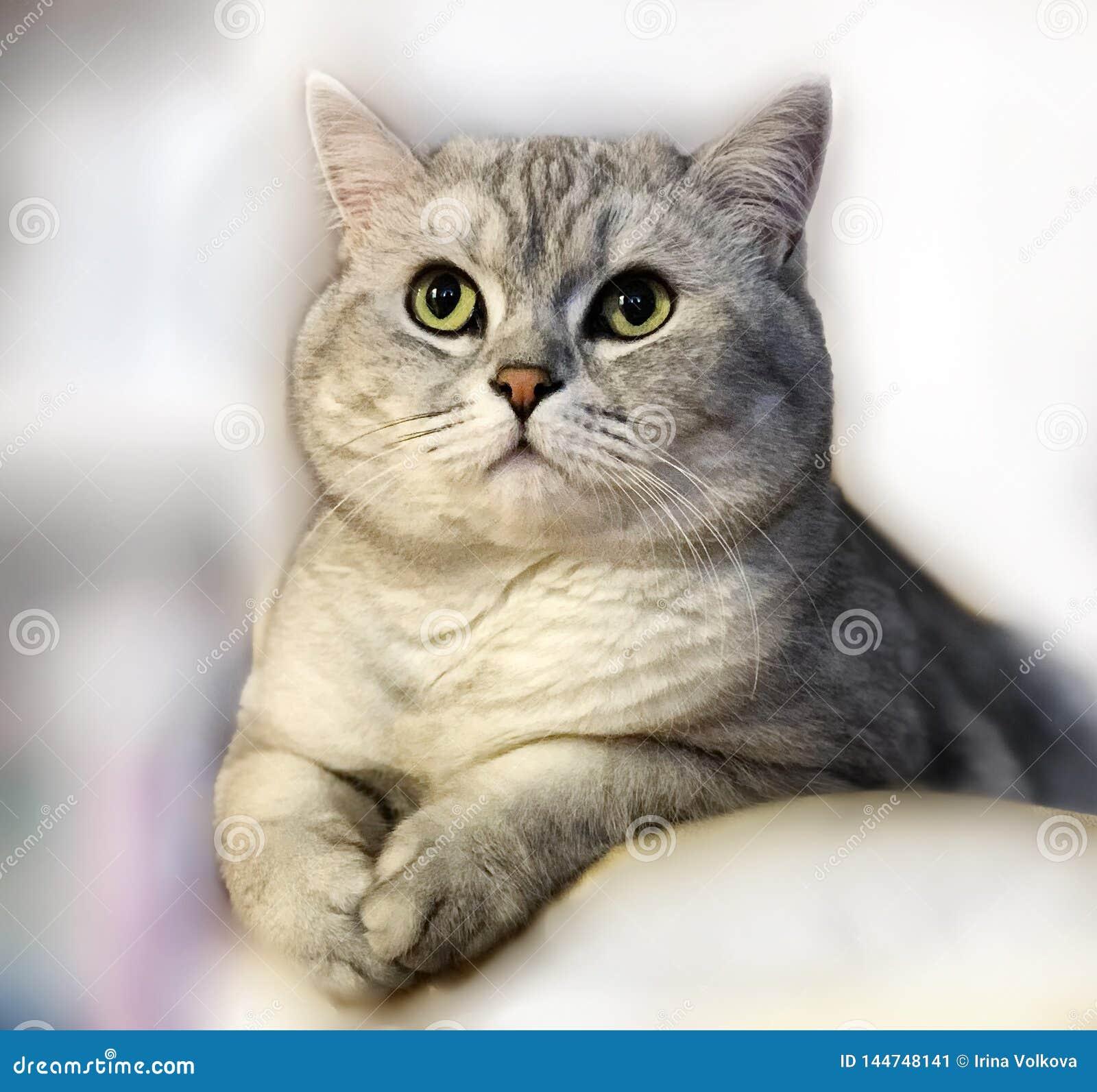 Cute Cat Grey British kitten on Light funny animals