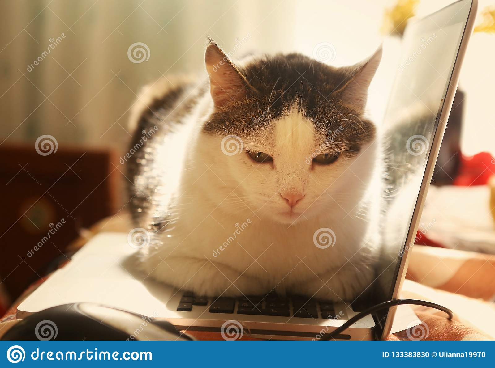 Cute cat lay resting on laptop keyboard