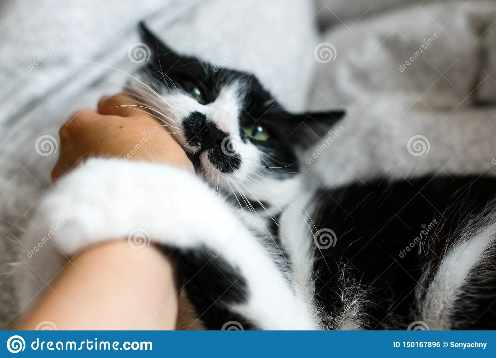 Cute cat with moustache biting owner hand on bed. Funny black and white kitty with angry emotions bites girl hand and scratches on