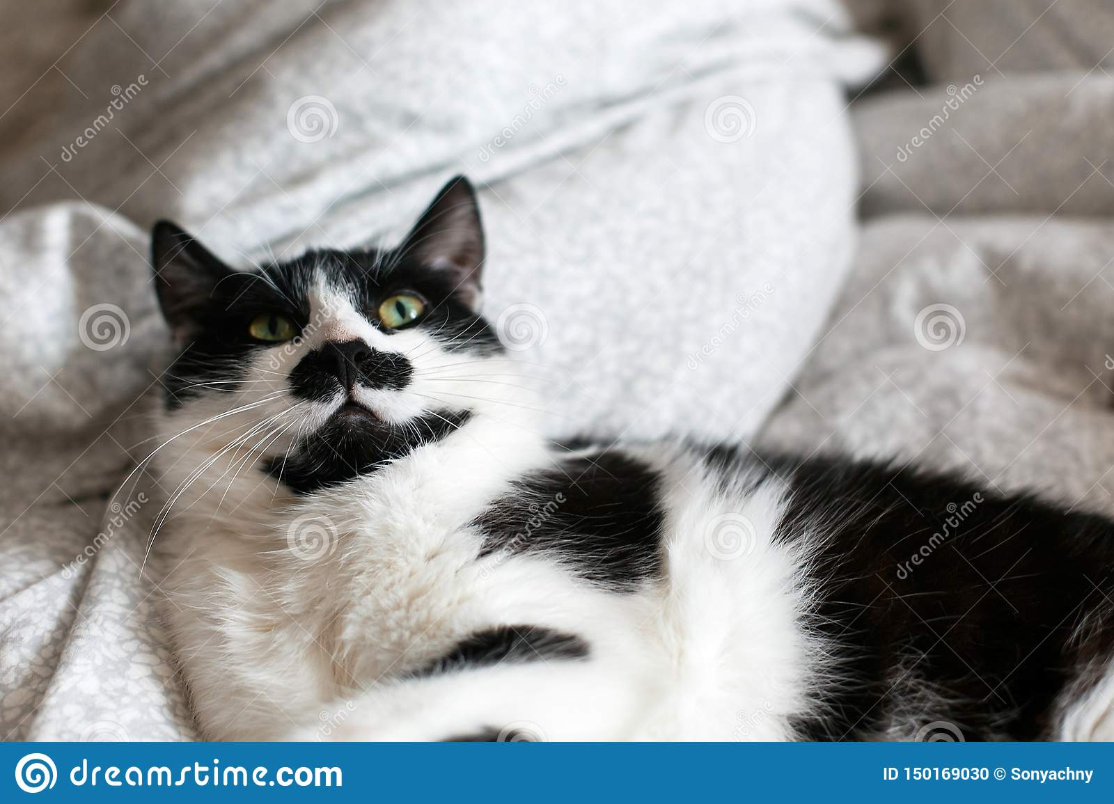Cute cat with mustache lying and relaxing on bed. Funny black and white kitty with angry emotions resting on stylish sheets. Space