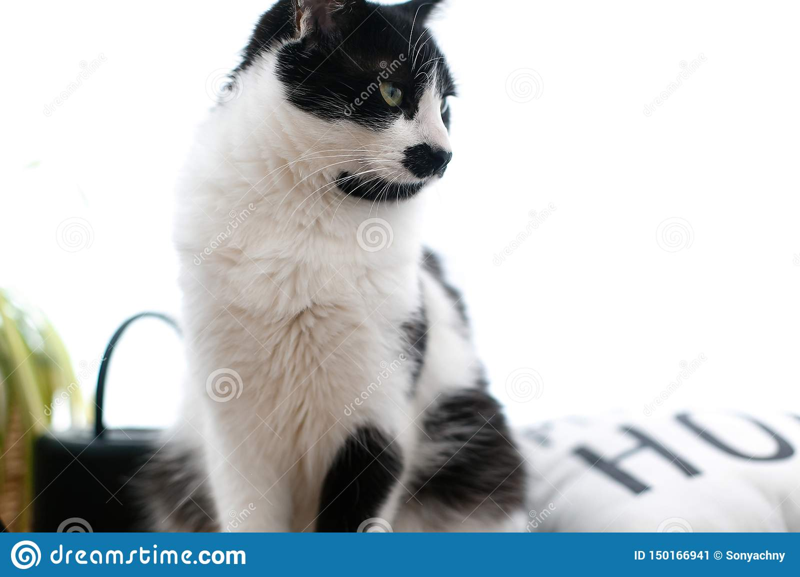 Cute cat with mustache sitting and relaxing on bed. Funny black and white kitty with angry emotions resting on stylish sheets.