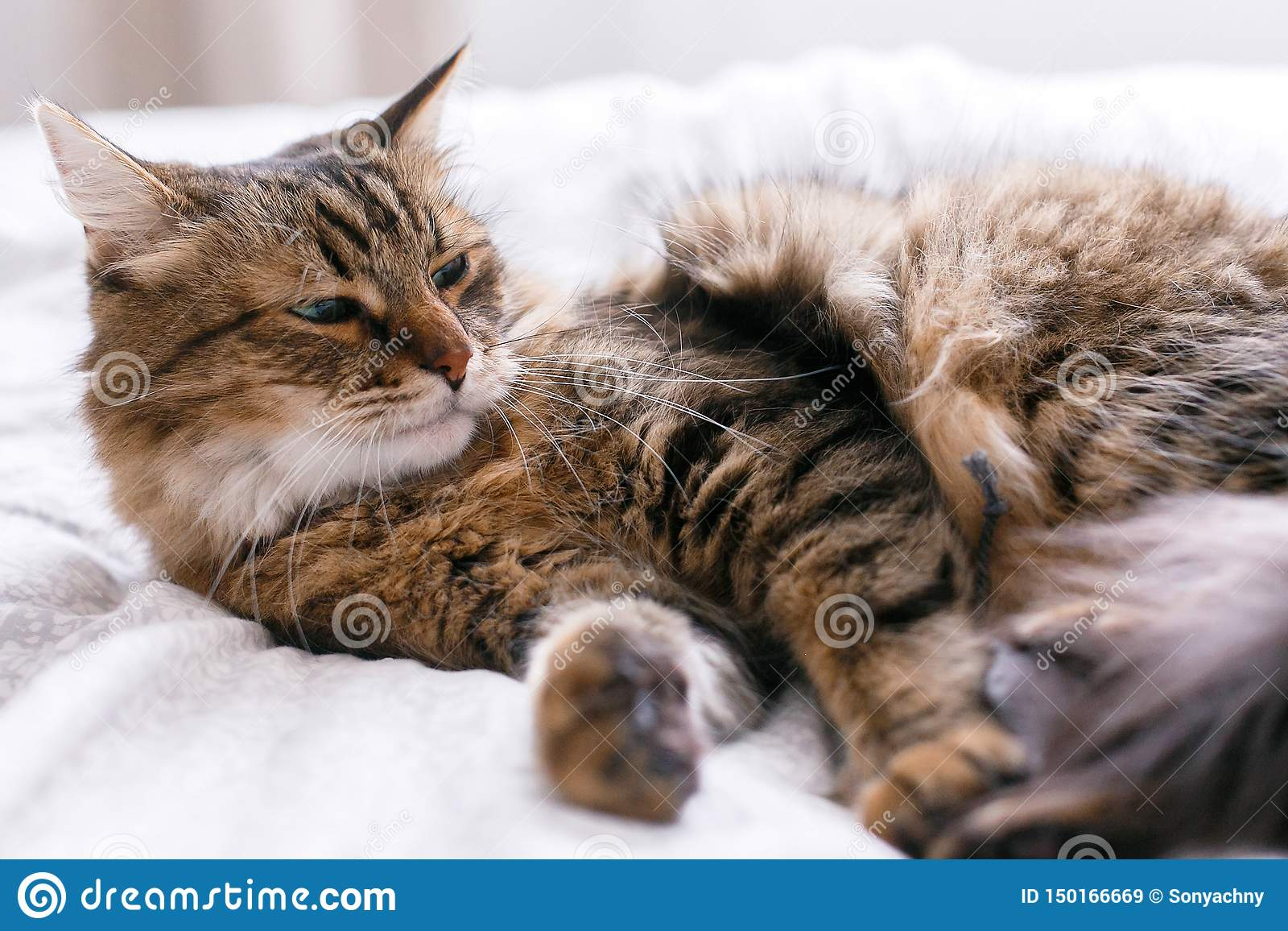 Cute cat playing with mouse toy on white bed in sunny stylish room. Maine coon with green eyes playing with with funny emotions on