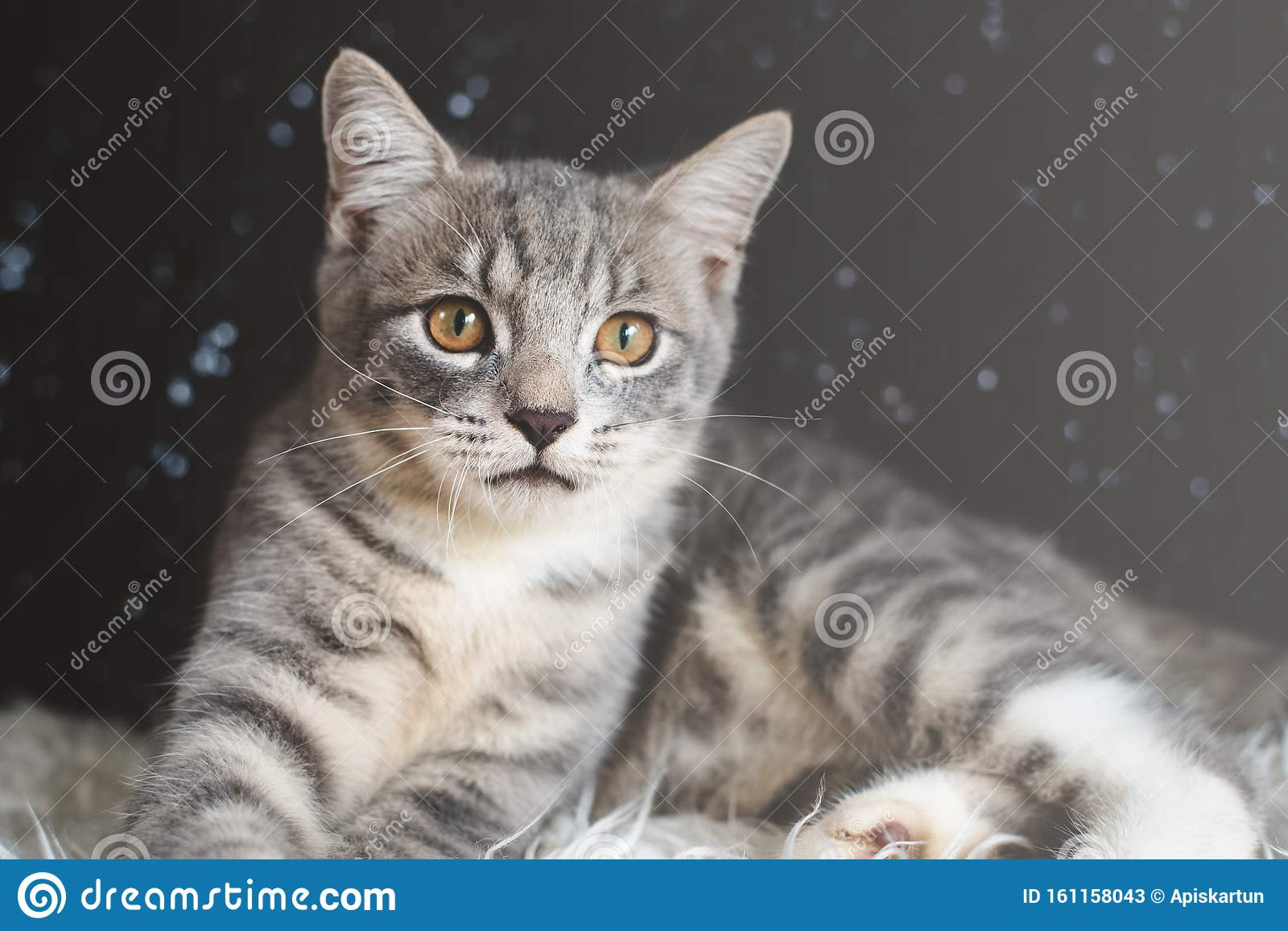 Cute Cat Portrait Looking Away From Camera Stock Image Image Of Happy Cute 161158043