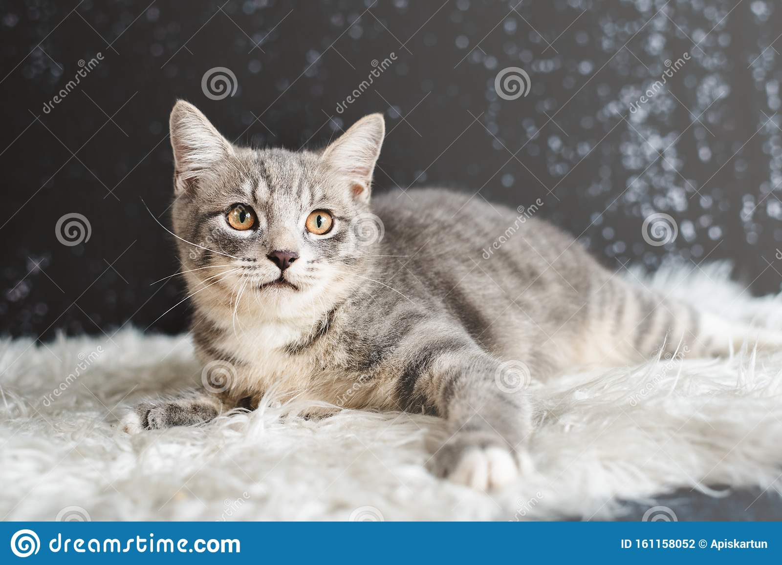 Cute Cat Portrait Mixed Breed Of Maine Coon With British Shorthair Stock Photo Image Of Kittens Little 161158052