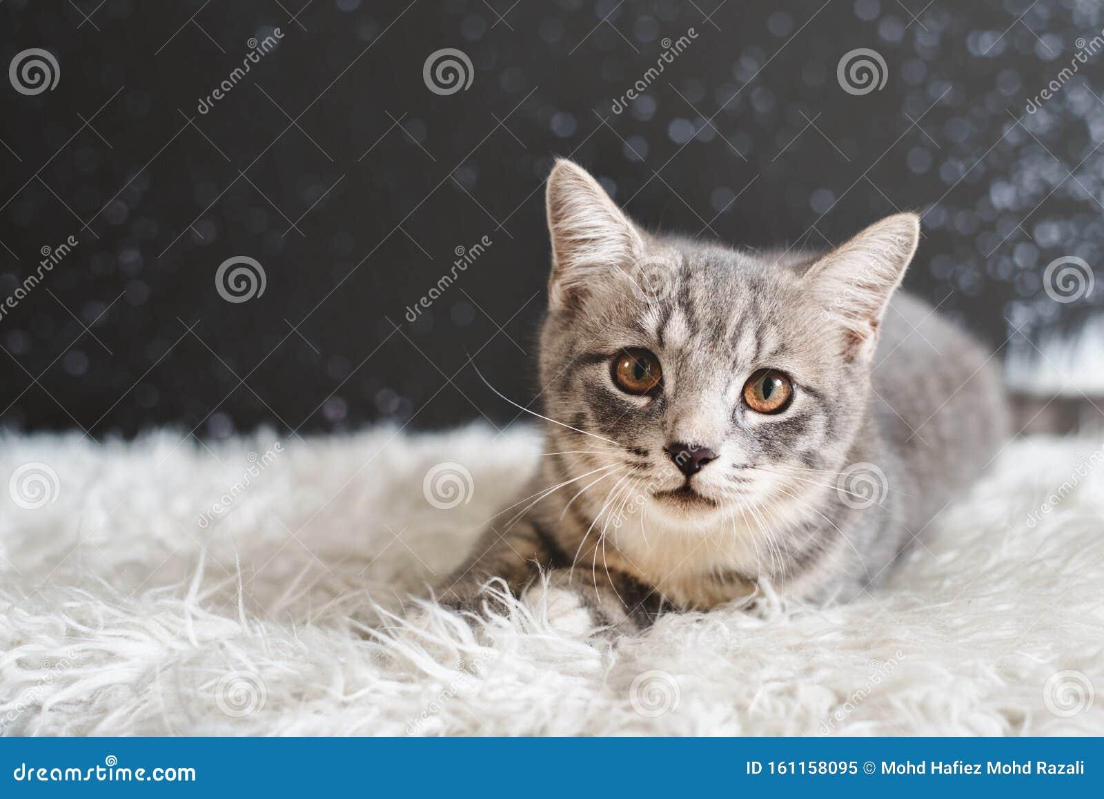 Maine Coon Vs British Shorthair 81021 Nama Untuk Kucing Comel Lucu Dan Unik