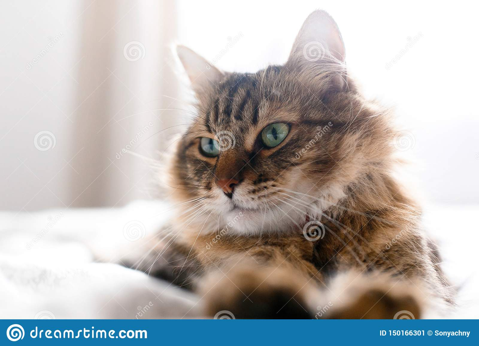 Cute cat relaxing on white bed in sunny bright stylish room. Maine coon with green eyes lying and looking with funny emotions on