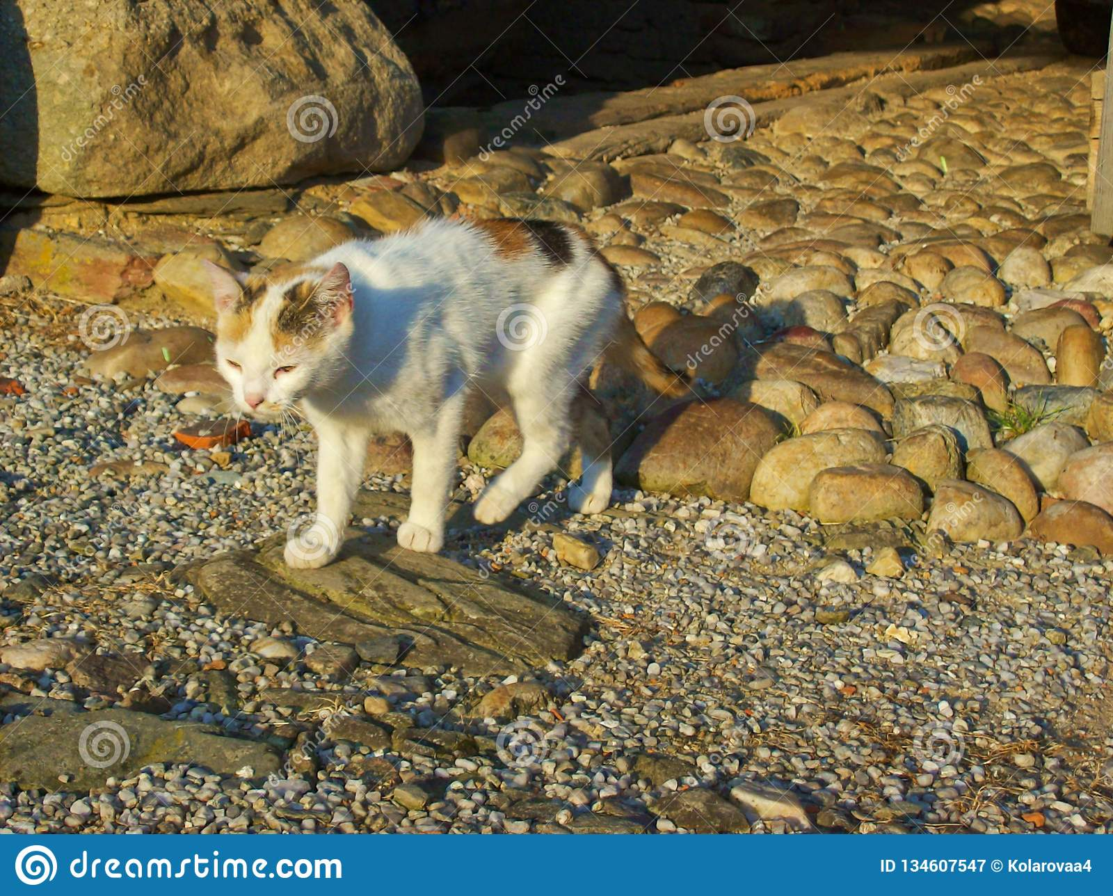 Cute cat with tricolor fur is walking along the way to the garden