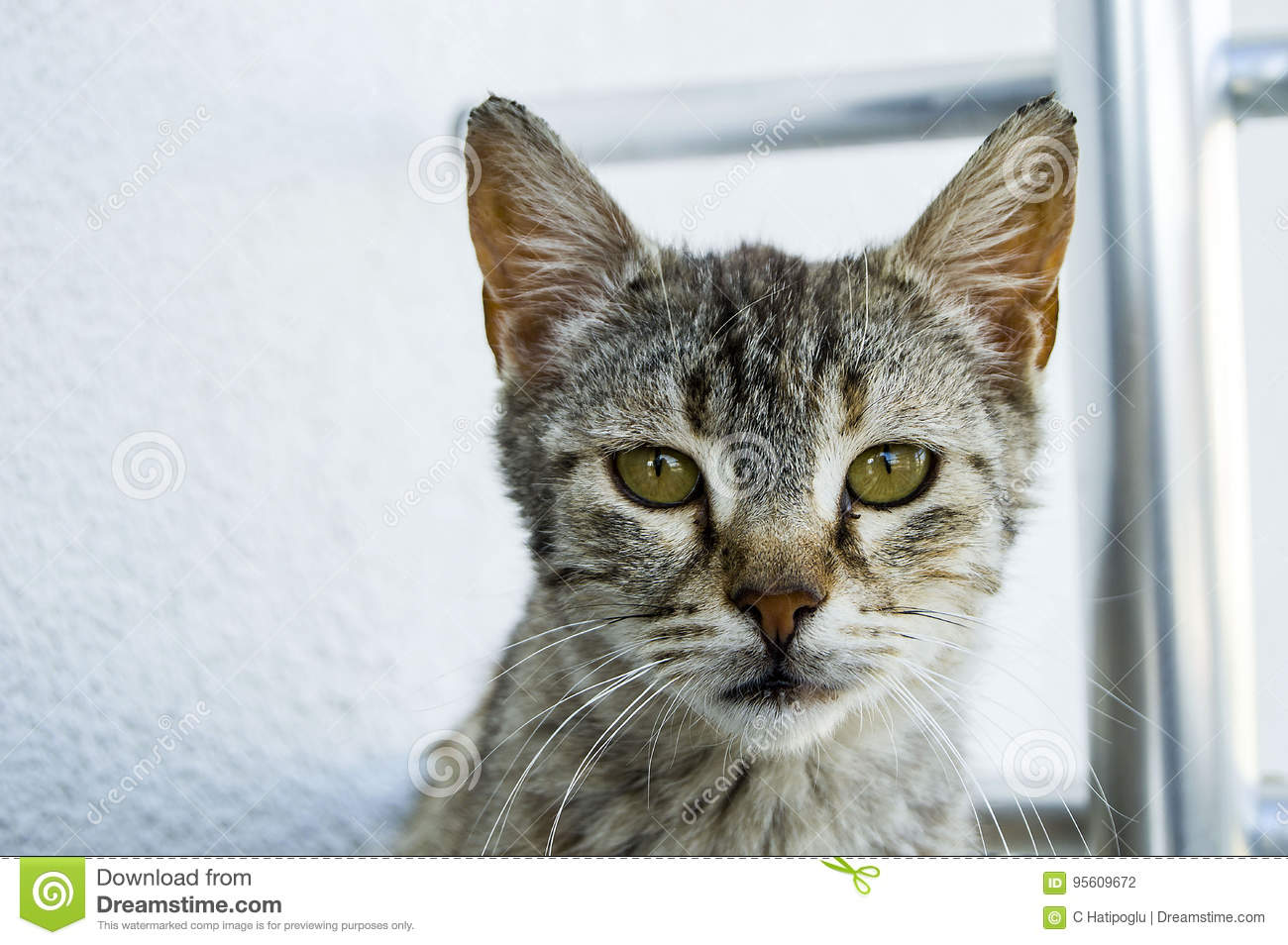 Cute cats, people loving and kissing the cat, the most beautiful big cat eyes,