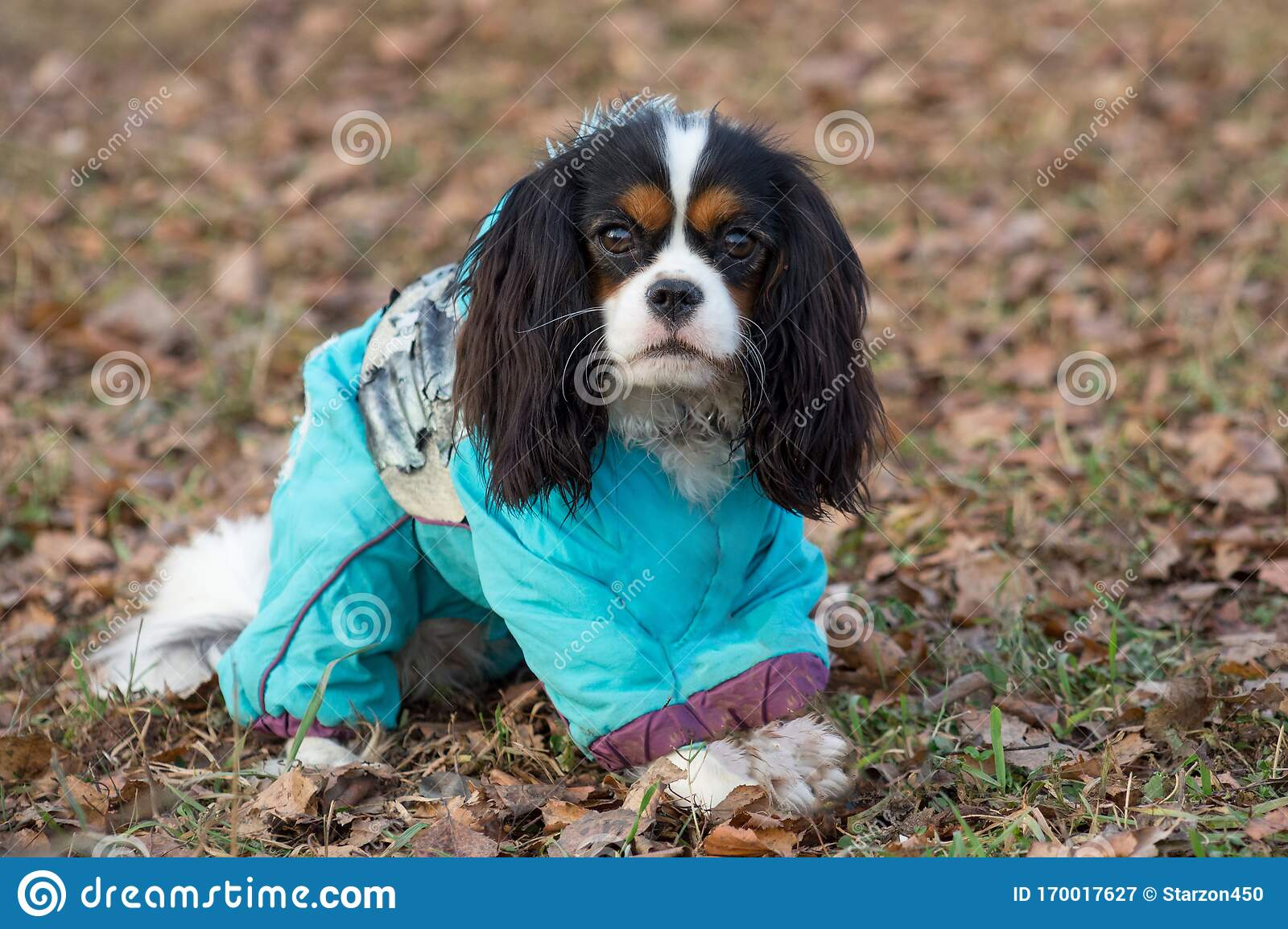 Cute Cavalier King Charles Spaniel In The Beautiful Pet Clothes Is Sitting In The Autumn Park Pet Animals Stock Image Image Of Foliage Brown 170017627