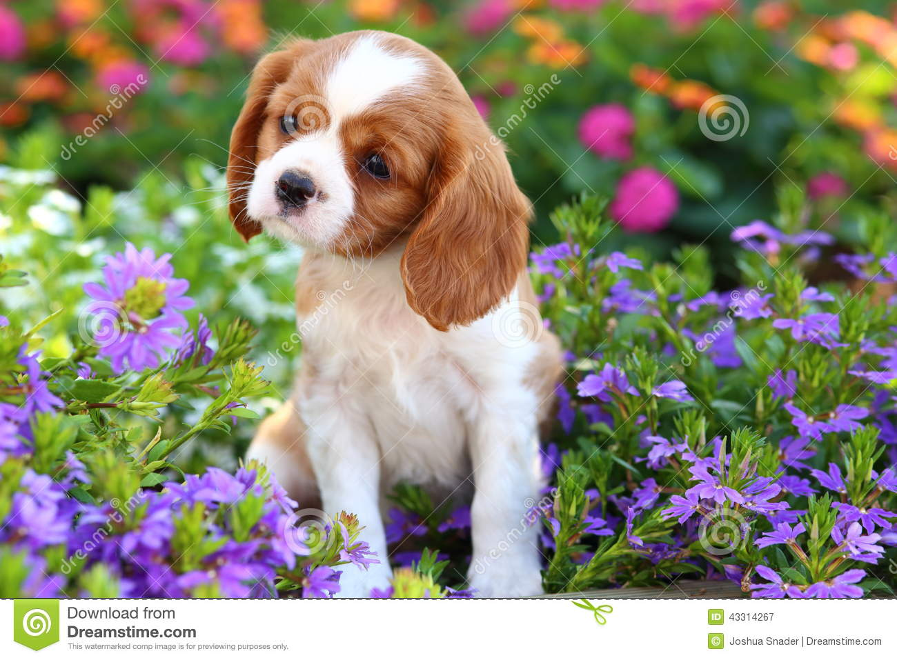 Cute Cavalier King Charles Spaniel Puppy Stock Image Image Of Spotted Summer 43314267