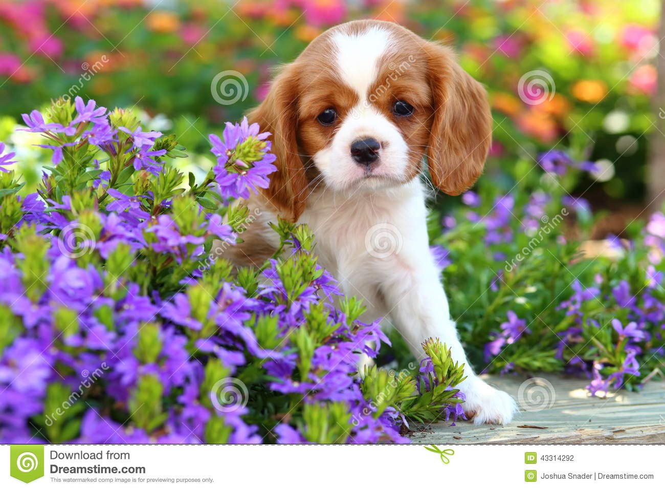 Cute Cavalier King Charles Spaniel Puppy 2 Stock Photo Image Of Charles King 43314292