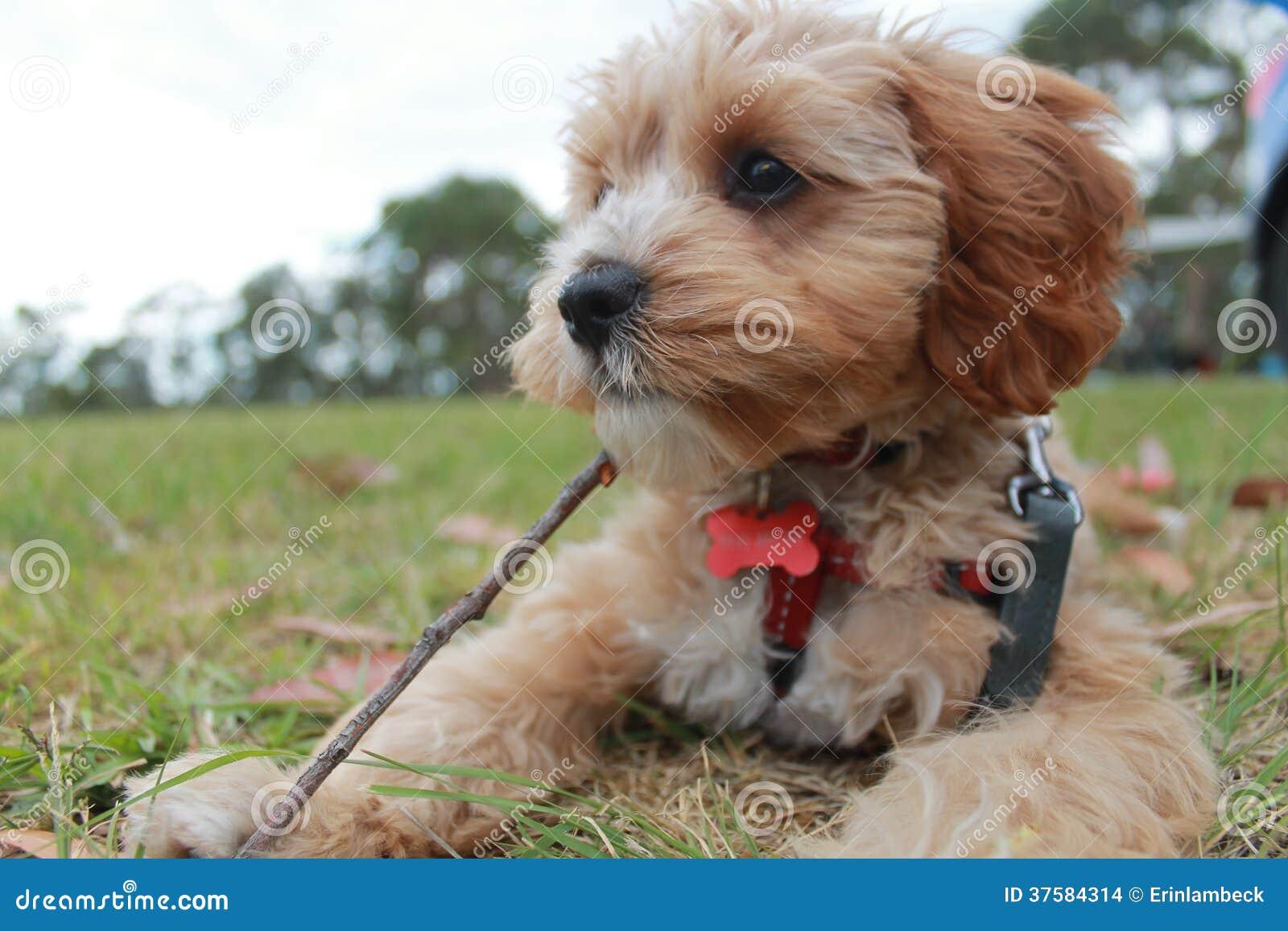 Cavoodle Dog For Sale Uk