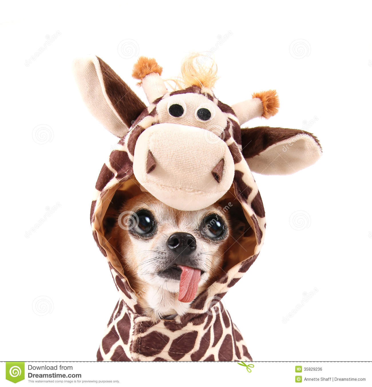 A Cute Chihuahua In A Costume Stock Photo Image 35829236