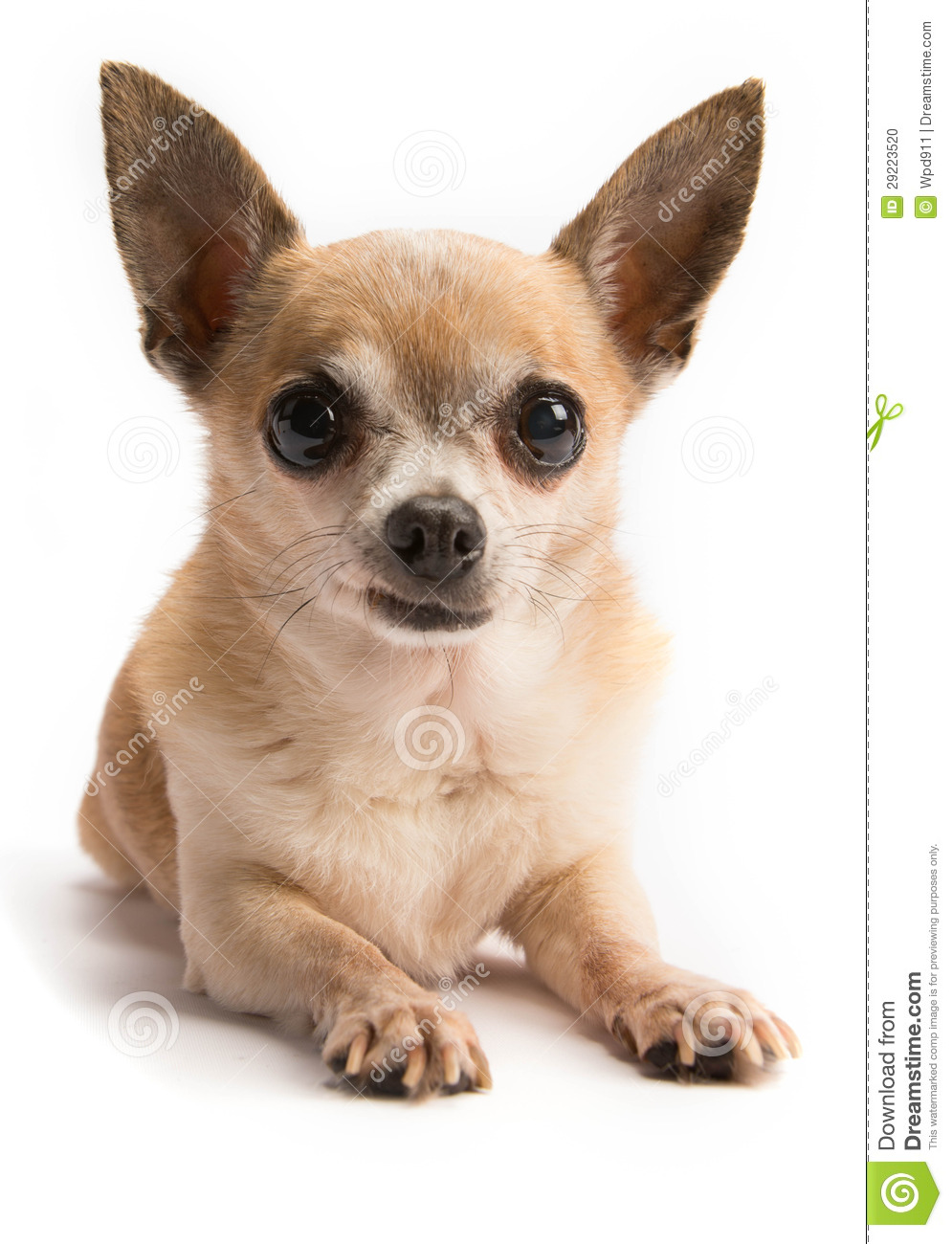 Cute Chihuahua Isolated On White Background Stock Photo - Image ...