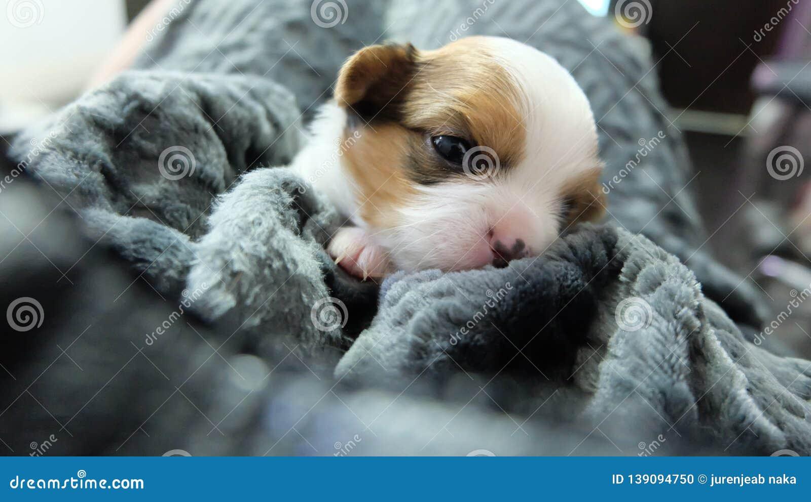 Cute Chihuahua Puppy Stock Photo Image Of Grey Chihuahua 139094750