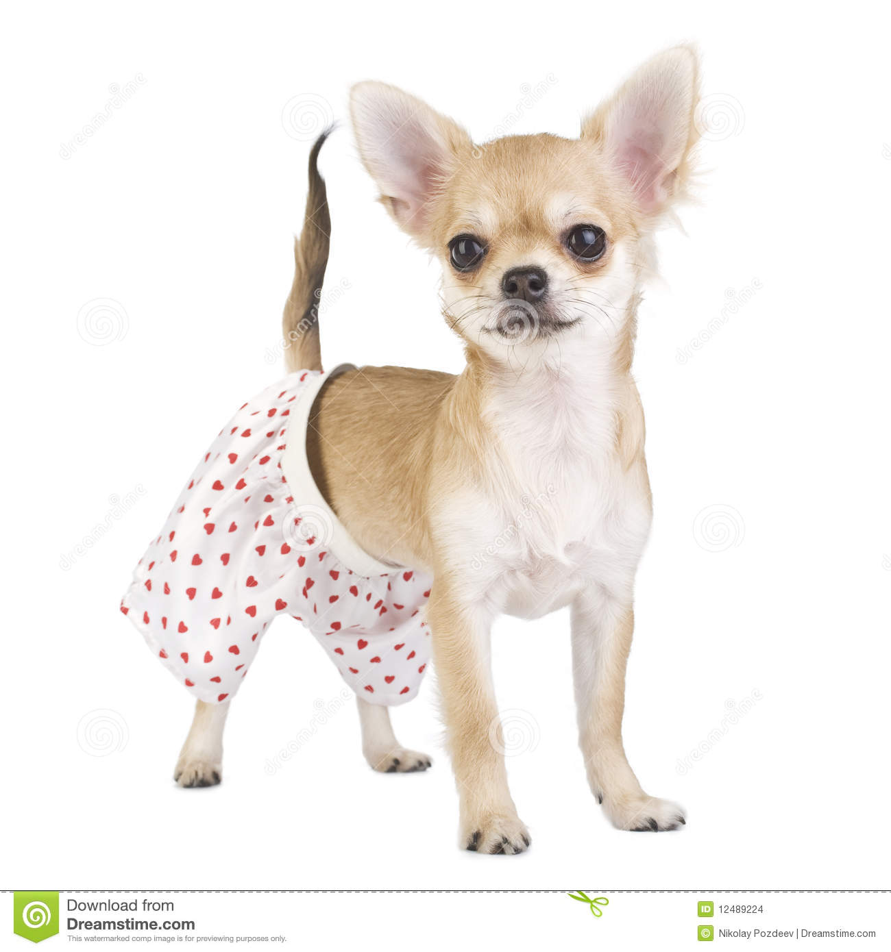 Cute Chihuahua Puppy With Funny Panties Stock Photo