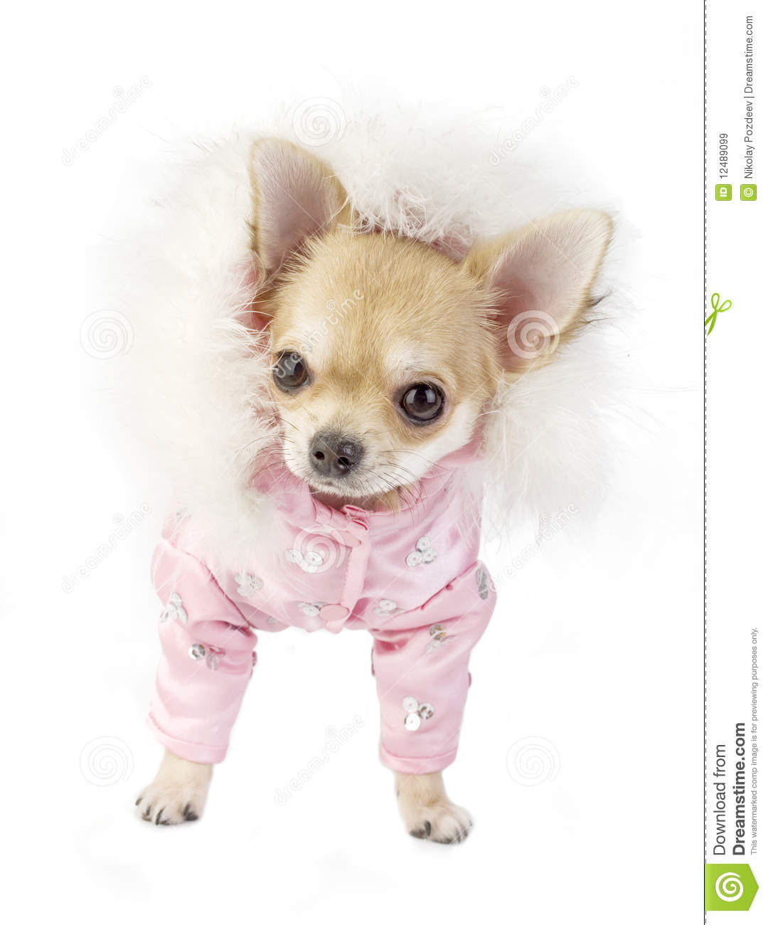 Cute Chihuahua Puppy Glamorous Dressed Stock Image Image