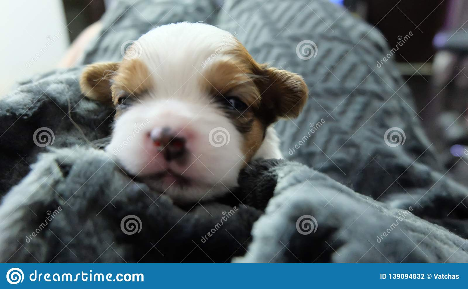 Cute Chihuahua Puppy Stock Photo Image Of Grey Cute 139094832