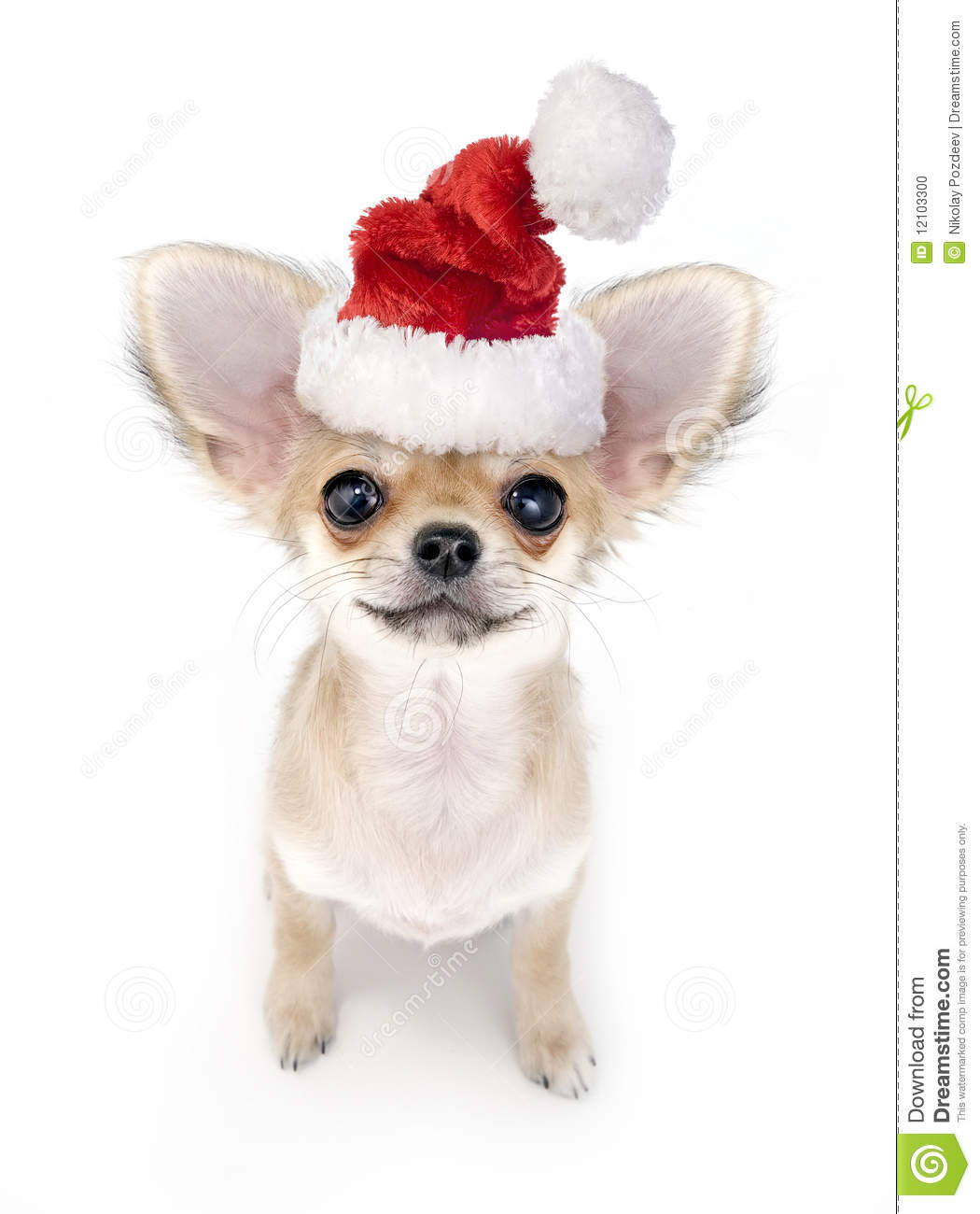2cb8fbfc4ca8b Cute Chihuahua Puppy With Santa Hat Stock Photo - Image of bright ...