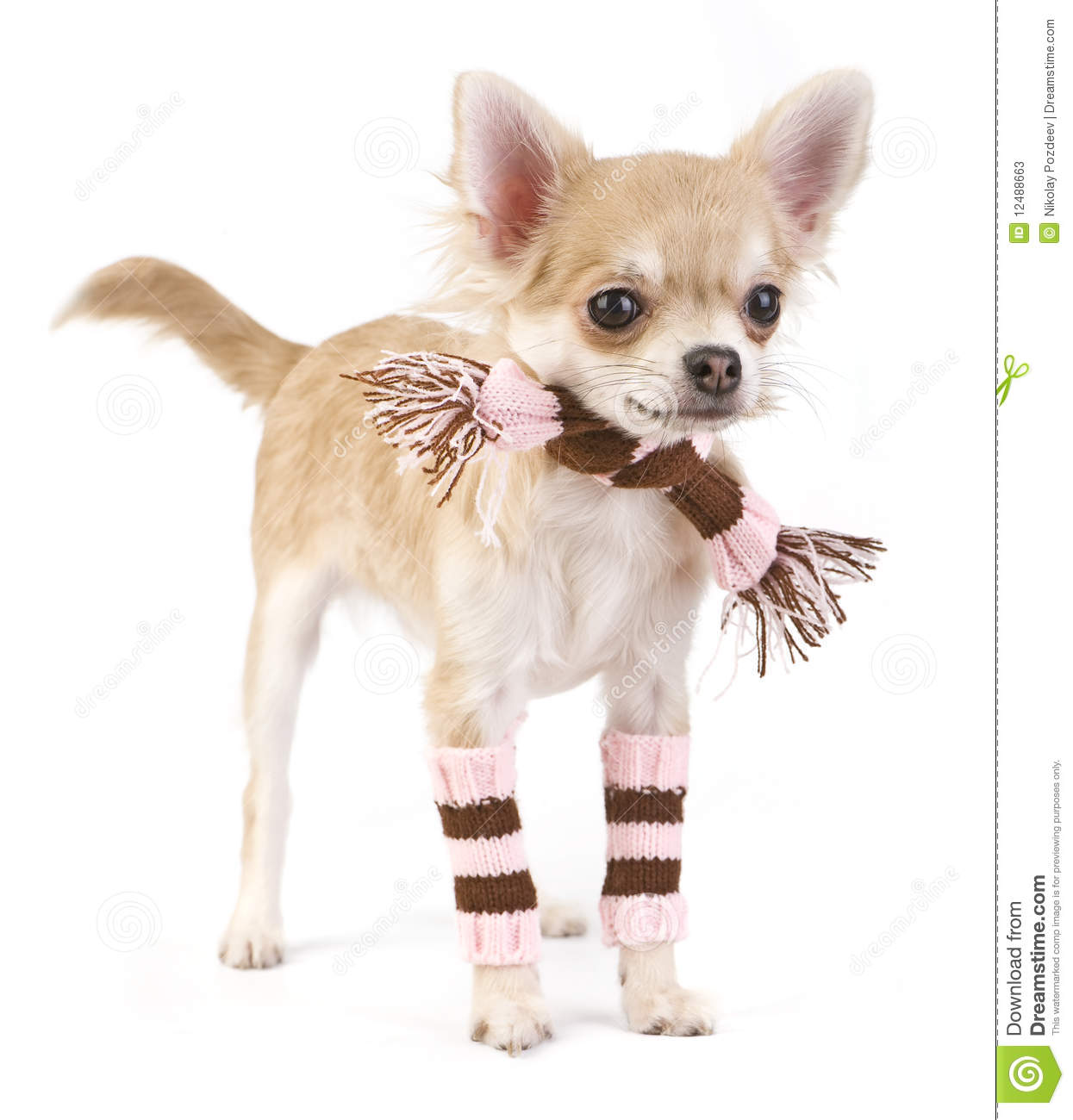 cute chihuahua puppy with striped socks and scarf stock photos   image