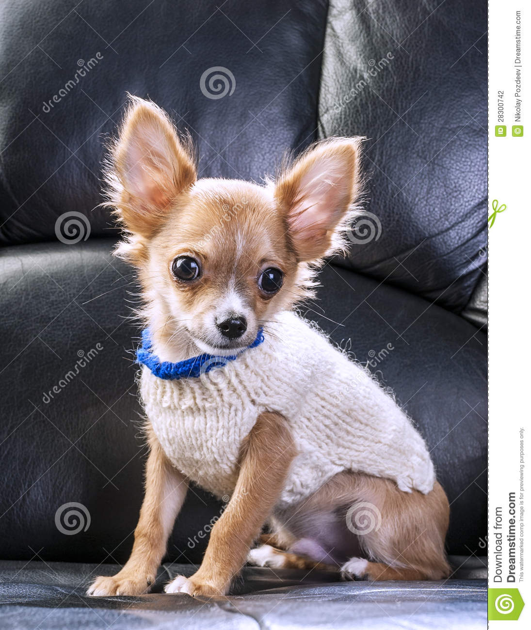 cute chihuahua puppy wearing white sweater stock photo image 28300742. Black Bedroom Furniture Sets. Home Design Ideas