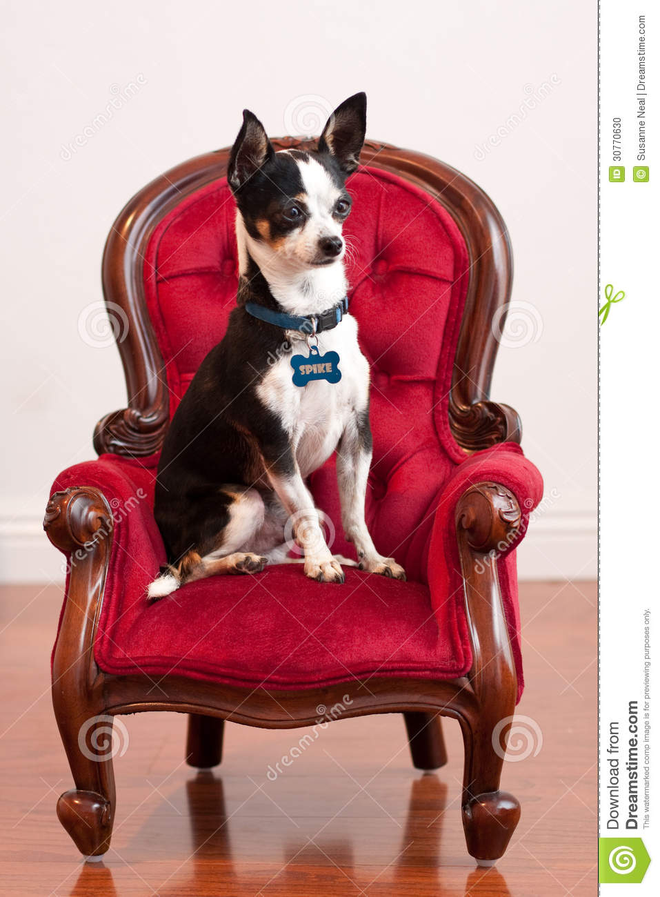 Cute Chihuahua on red old fashioned chair