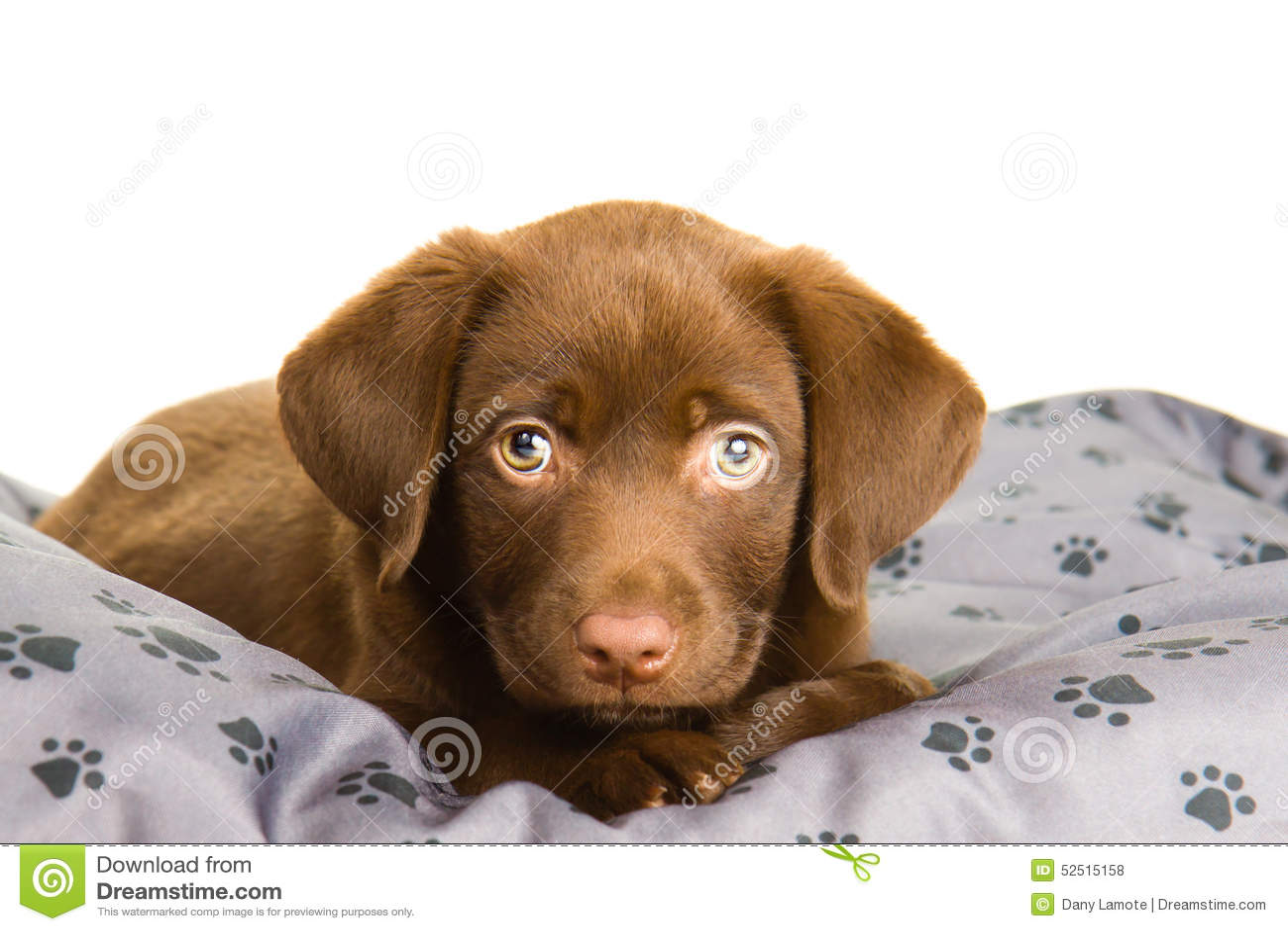 Cute Chocolate Brown Labrador Puppy Dog On A Grey Pillow