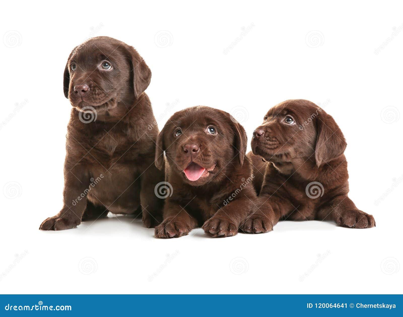 Chocolate Labrador Retriever Puppies On White Background