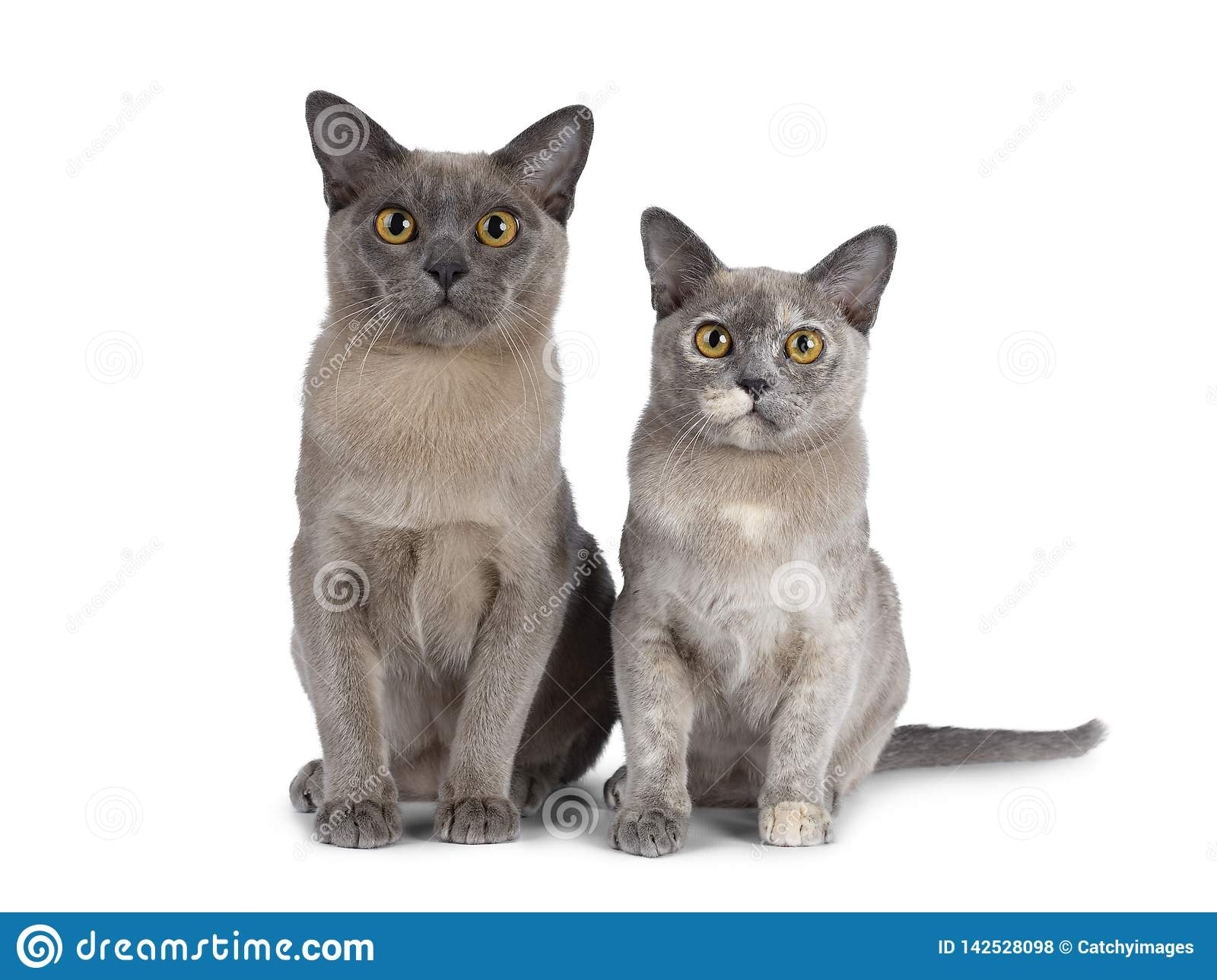 Cute chocolate and tortie Burmese cat kittens on white background