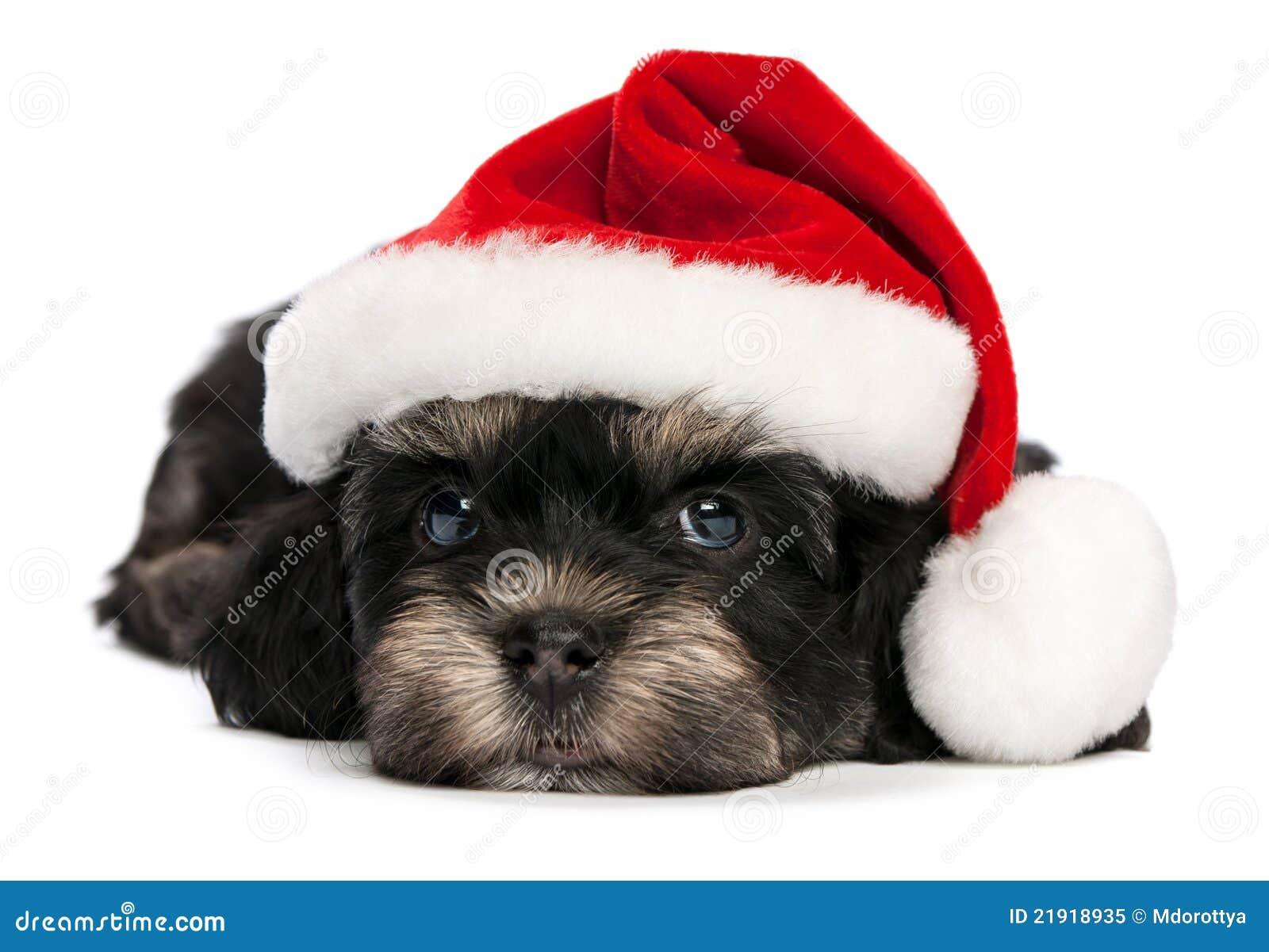 Maltese Dog Clipart
