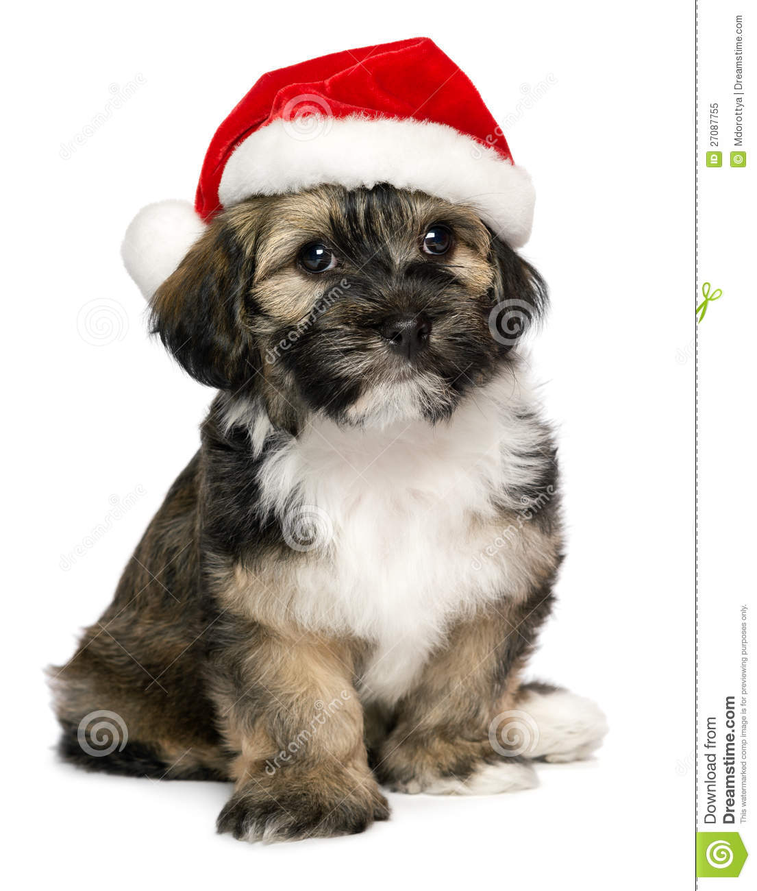 Cute christmas havanese puppy dog with a santa hat stock