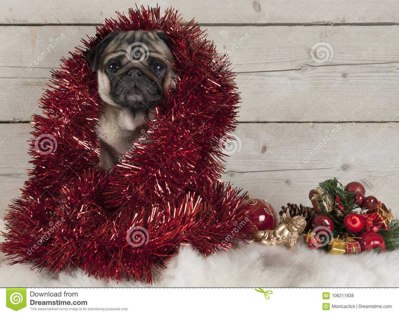 Cute Christmas Pug Puppy Dog Decorated With Tinsel Sitting Down On