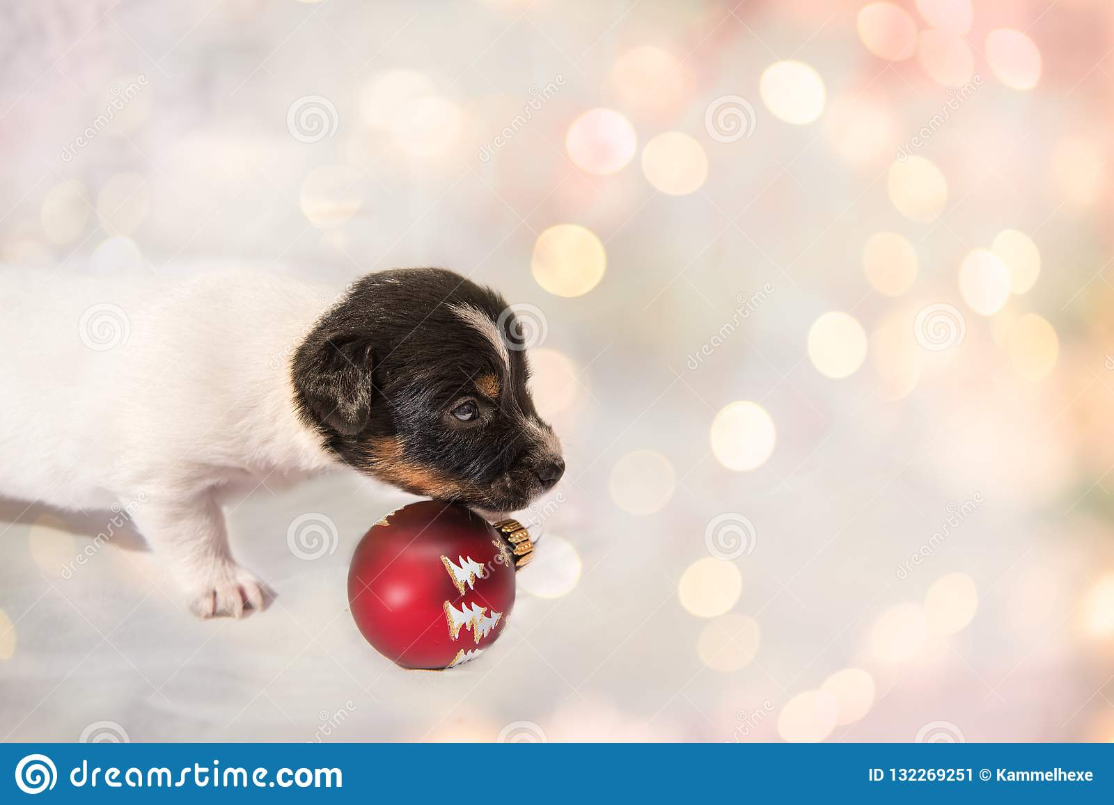 Cute christmas puppy Jack Russell Terrier doggy