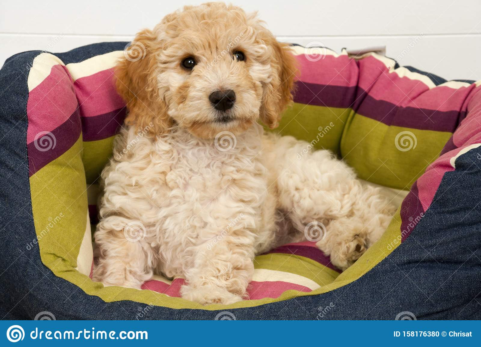 A cute Cockapoo puppy in her new bed
