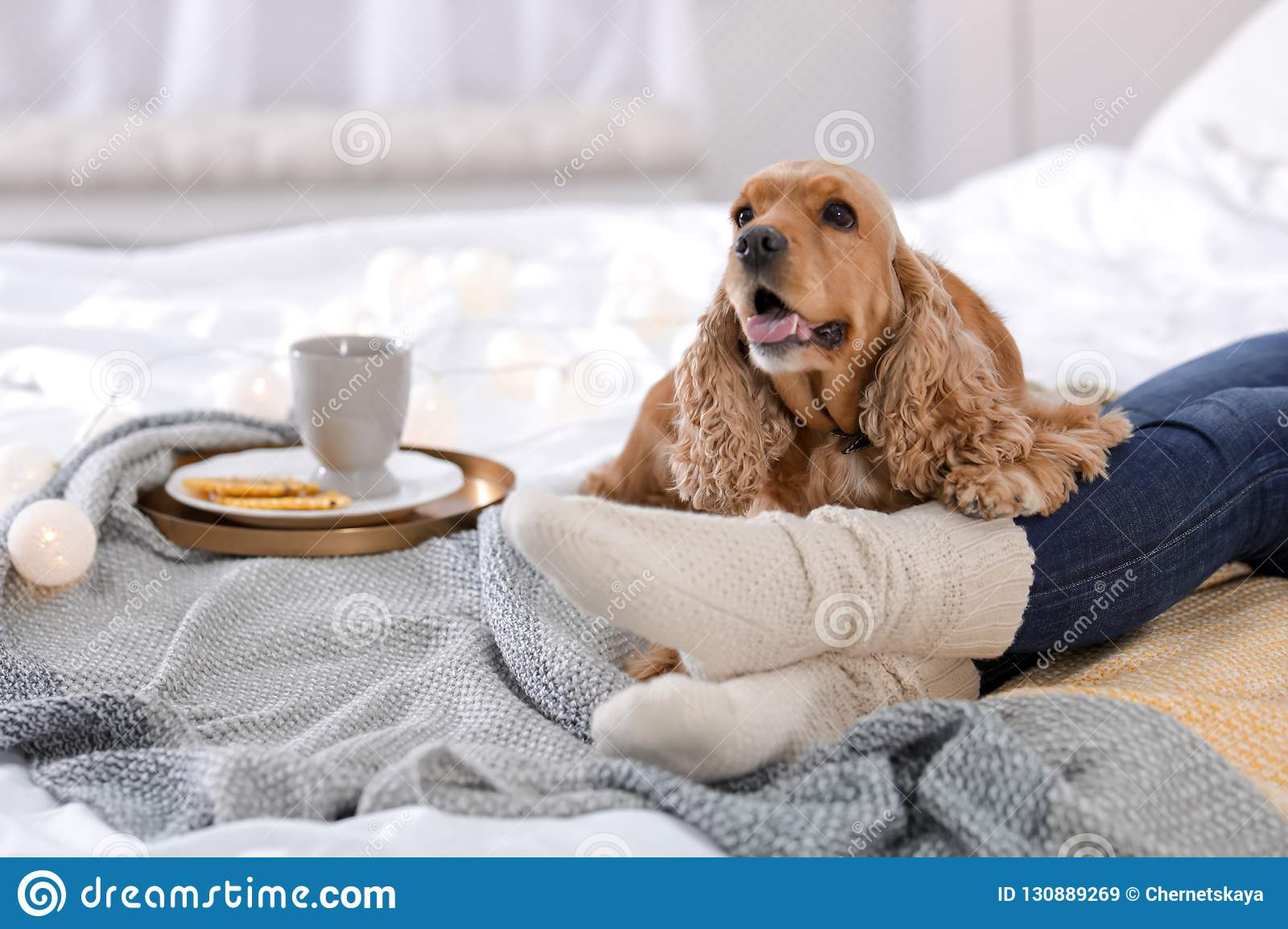 Cute Cocker Spaniel dog with warm blanket lying near owner on bed at home