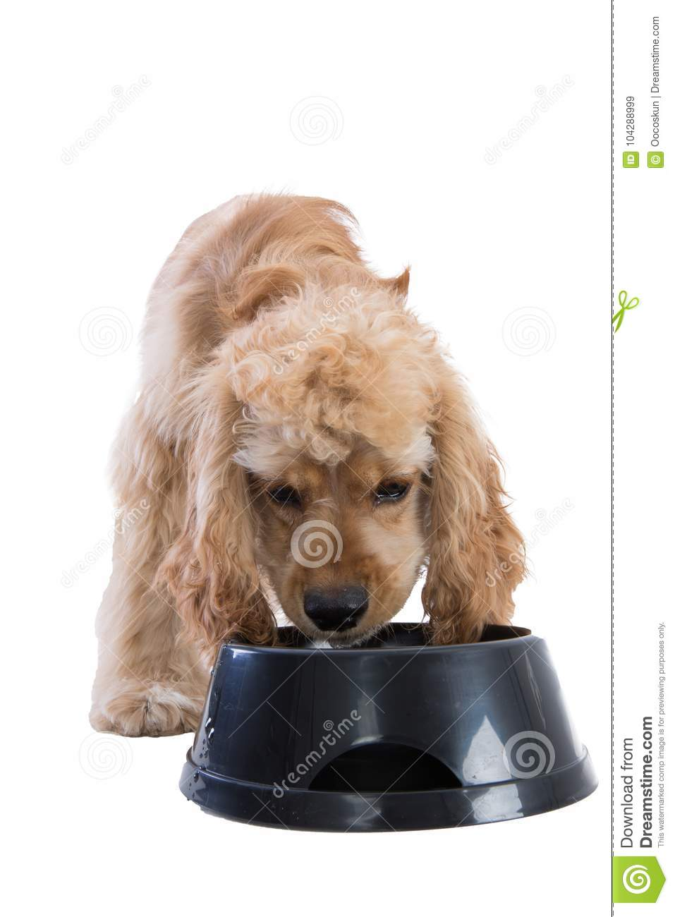 Cute Cocker Spaniel Eating Dog Food From A Bowl Stock Image Image