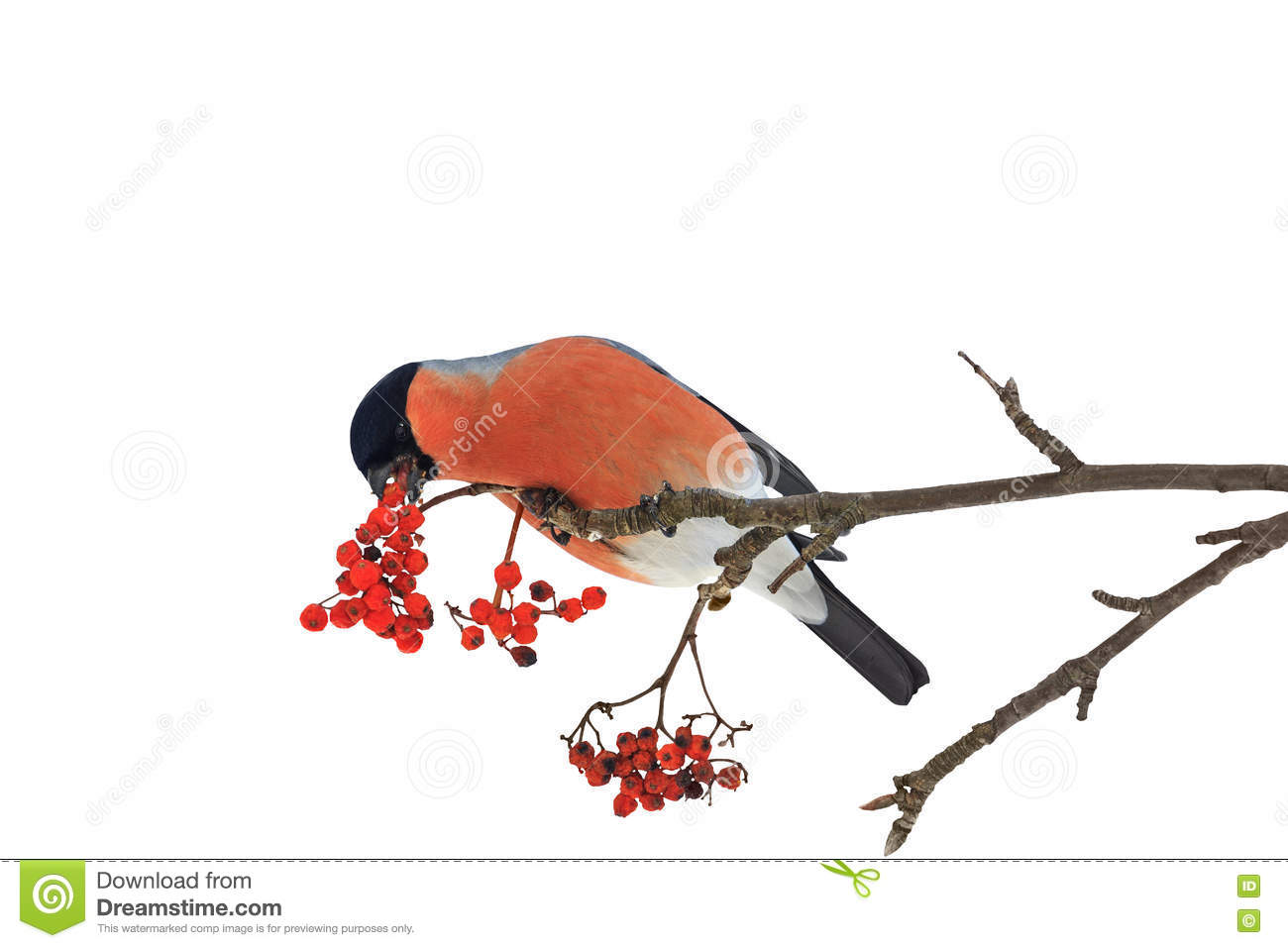 Cute colorful eurasian bullfinch eating red berries isolated on white