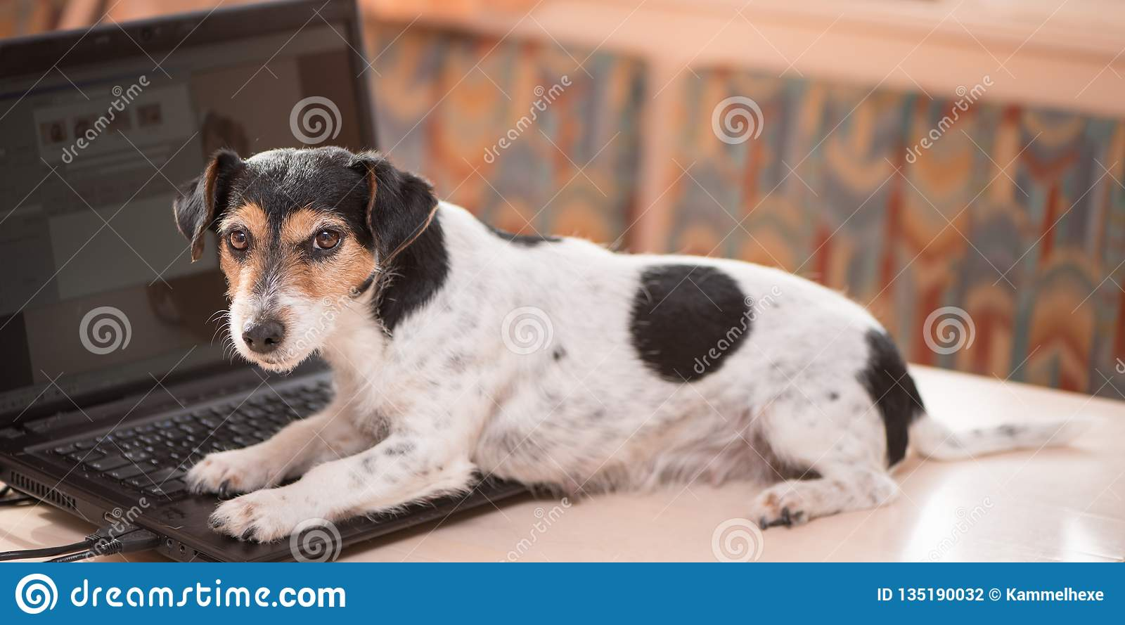 Cute computer Jack Russell Terrier dog. Naughty dog on the table