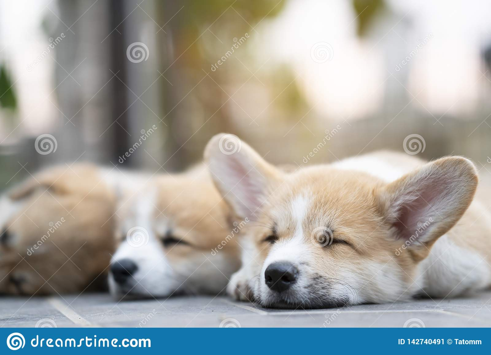 Cute Corgi Puppies Baby Dogs Lying Relaxing And Sleeping In Summer Sunny Day Stock Image Image Of Happy Close 142740491