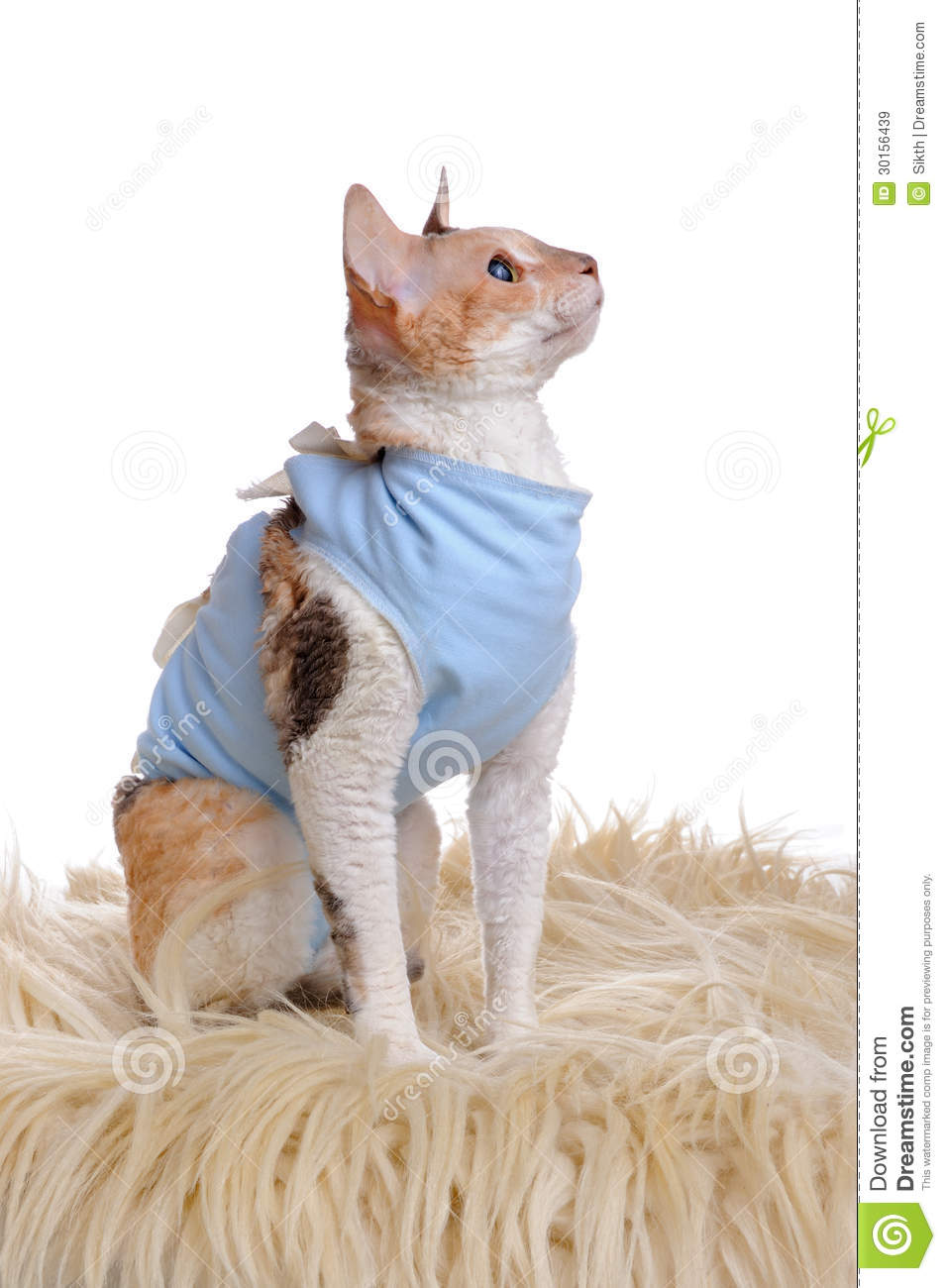 cat wearing medical pet shirt after surgery royalty free